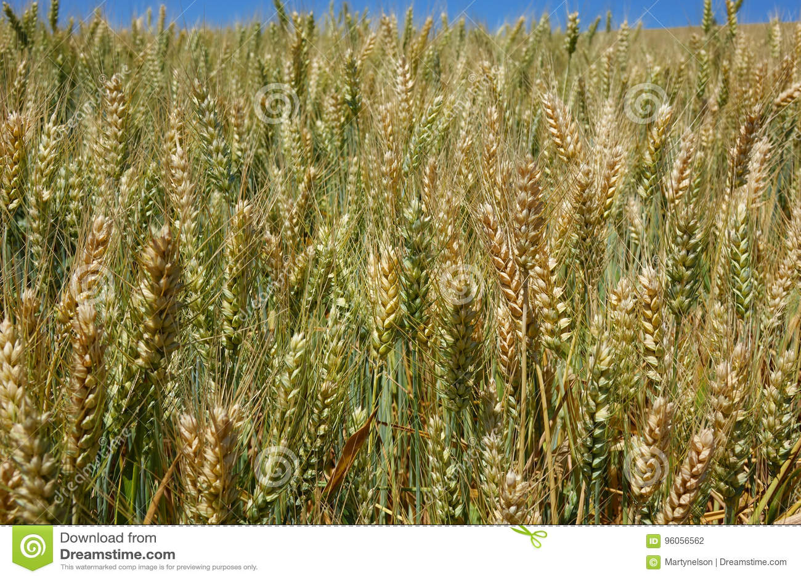 Un champ de blé en Idaho du nord