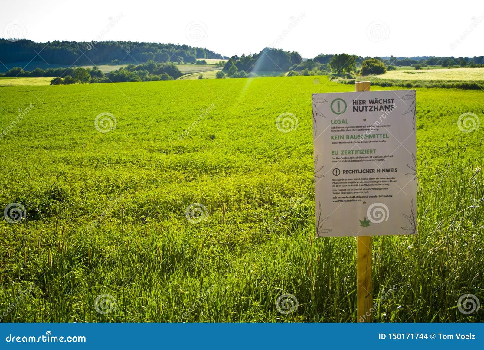 Un champ de chanvre dans Hesse, m Allemagne Culture juridique de chanvre pour la médecine ou la nourriture