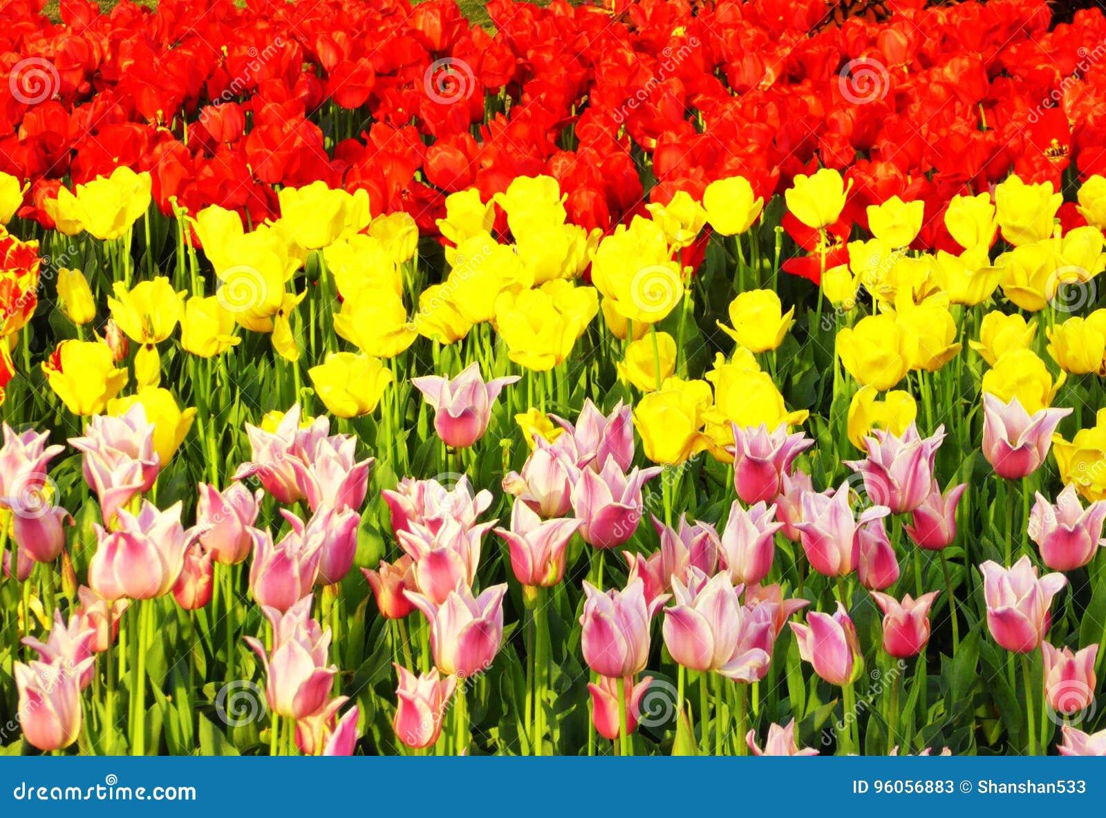 Un champ de la floraison colorée de tulipes