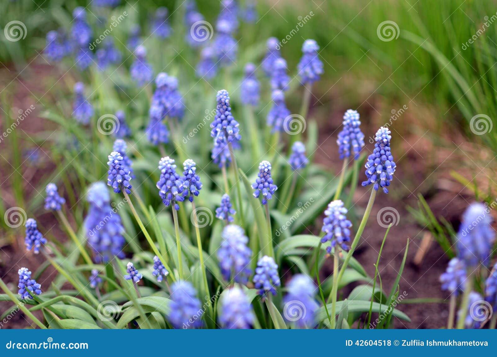 un champ des fleurs bleues photo stock image 42604518. Black Bedroom Furniture Sets. Home Design Ideas