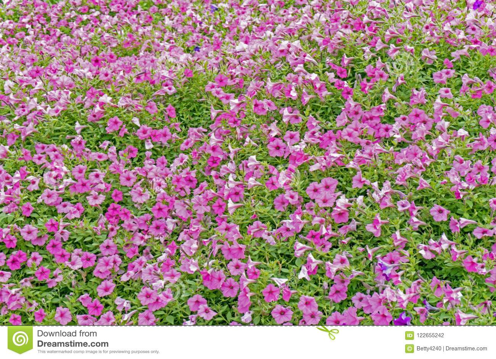 Un champ des gloires de matin fleurissent avec un fond vert de feuille
