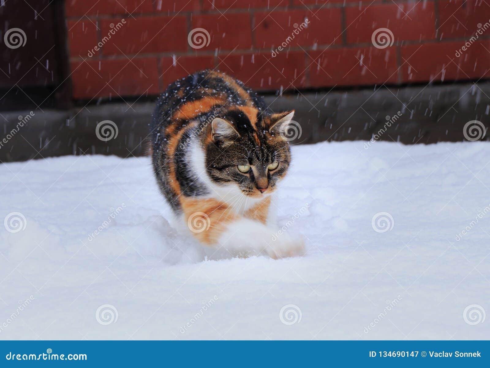 Un chat domestique multicolore joue avec la neige Elle aime la neige Elle chassant des flocons de neige et ratissant des trous su