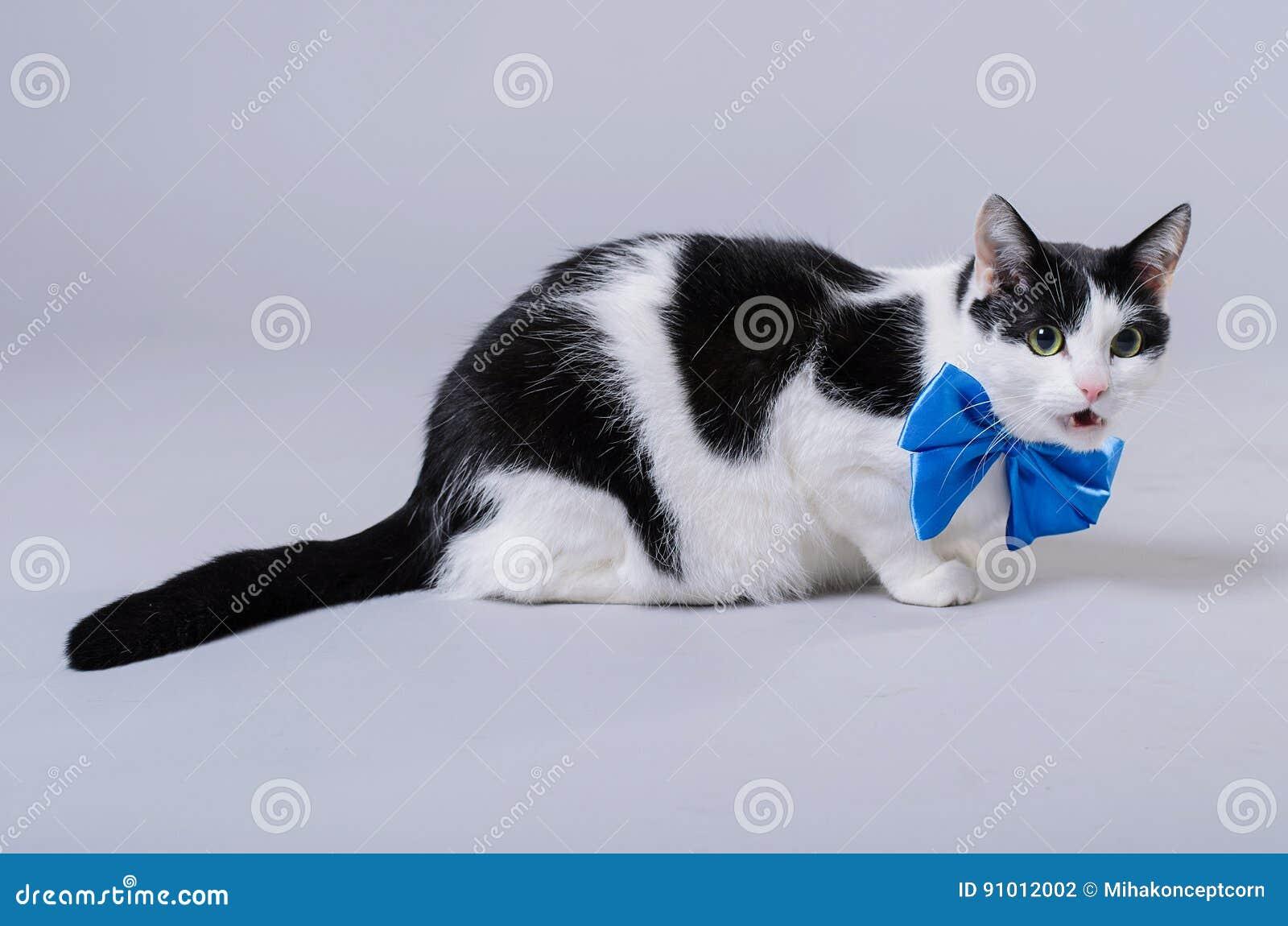 Un chat noir et blanc porte un noeud papillon bleu photo - Noeud papillon chat ...