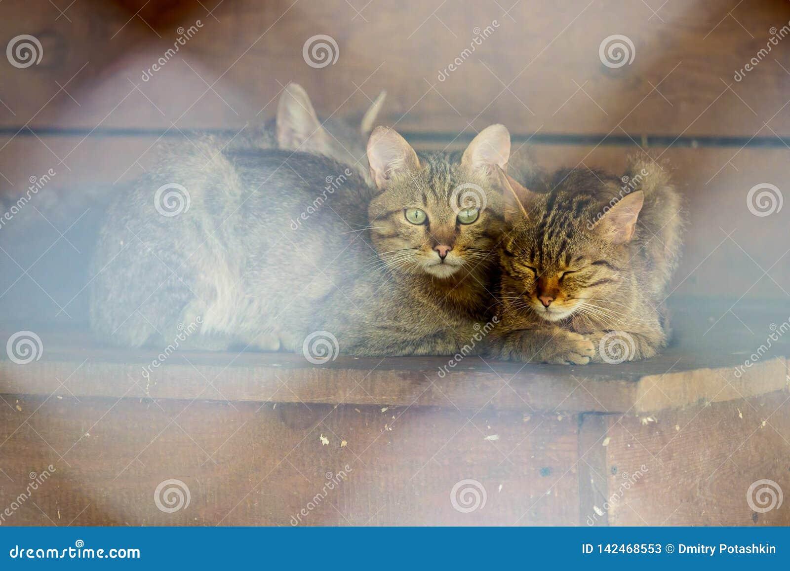 Un chat sauvage de forêt se repose dans une volière avec ses chatons