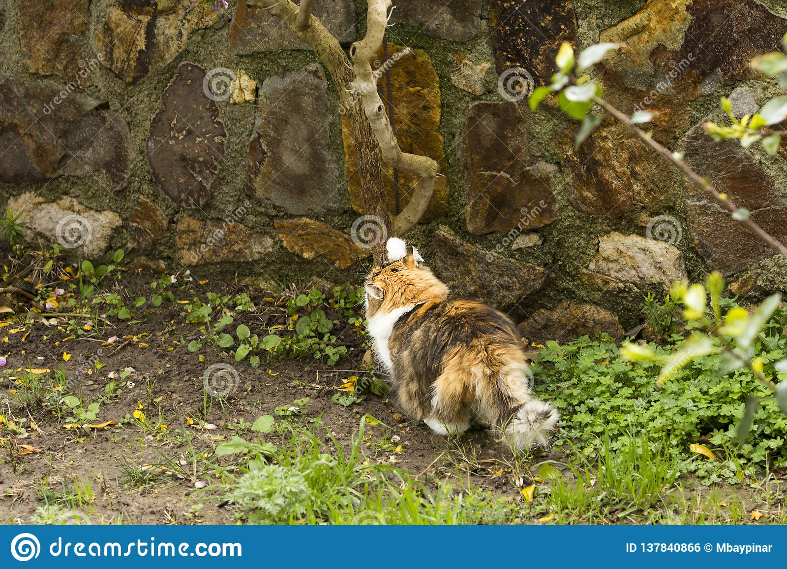 Un chat tricolore fléchit des muscles et affile ses griffes dans un jardin
