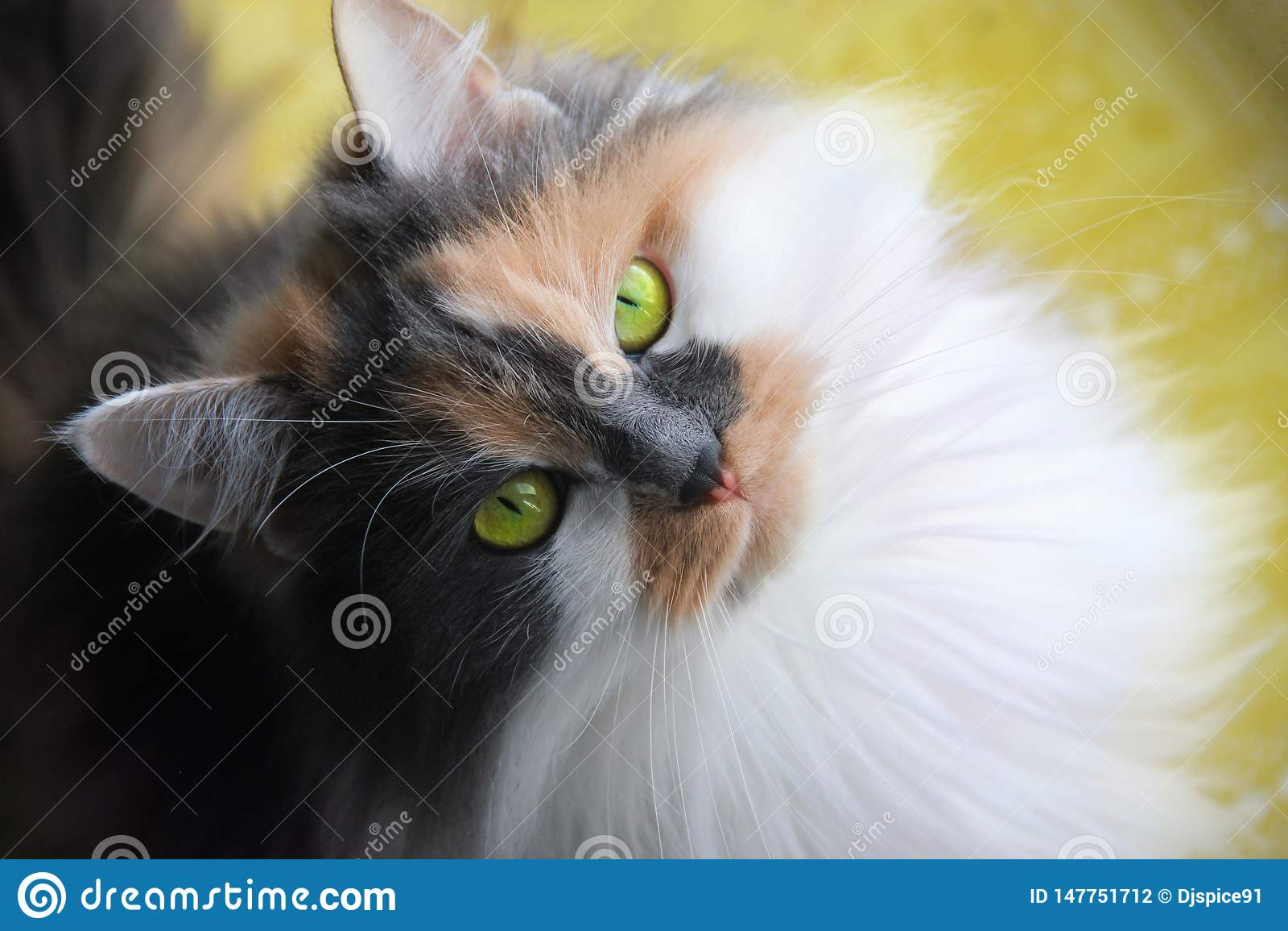 Un chat tricolore