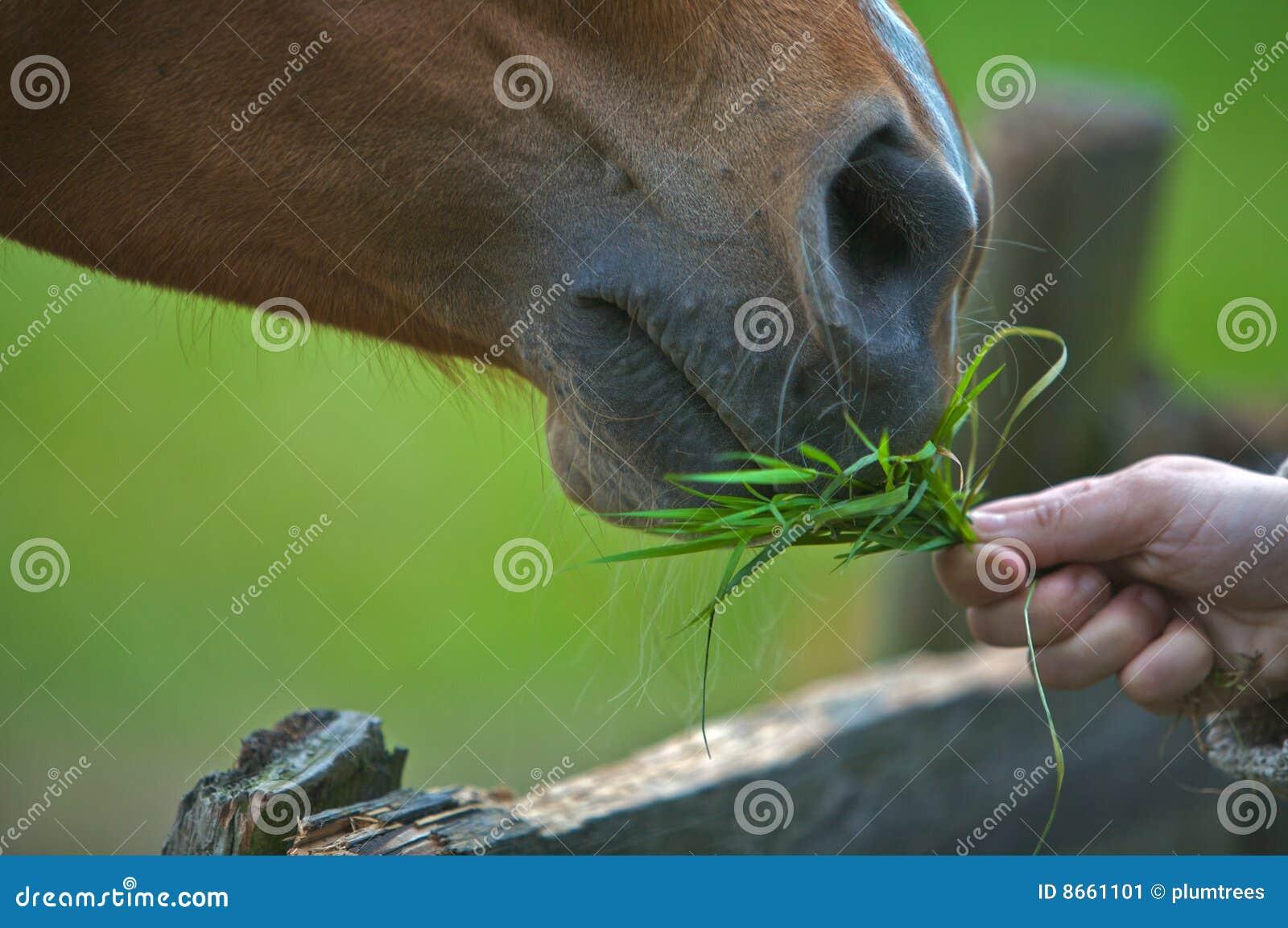 Un cheval brun mangeant l herbe