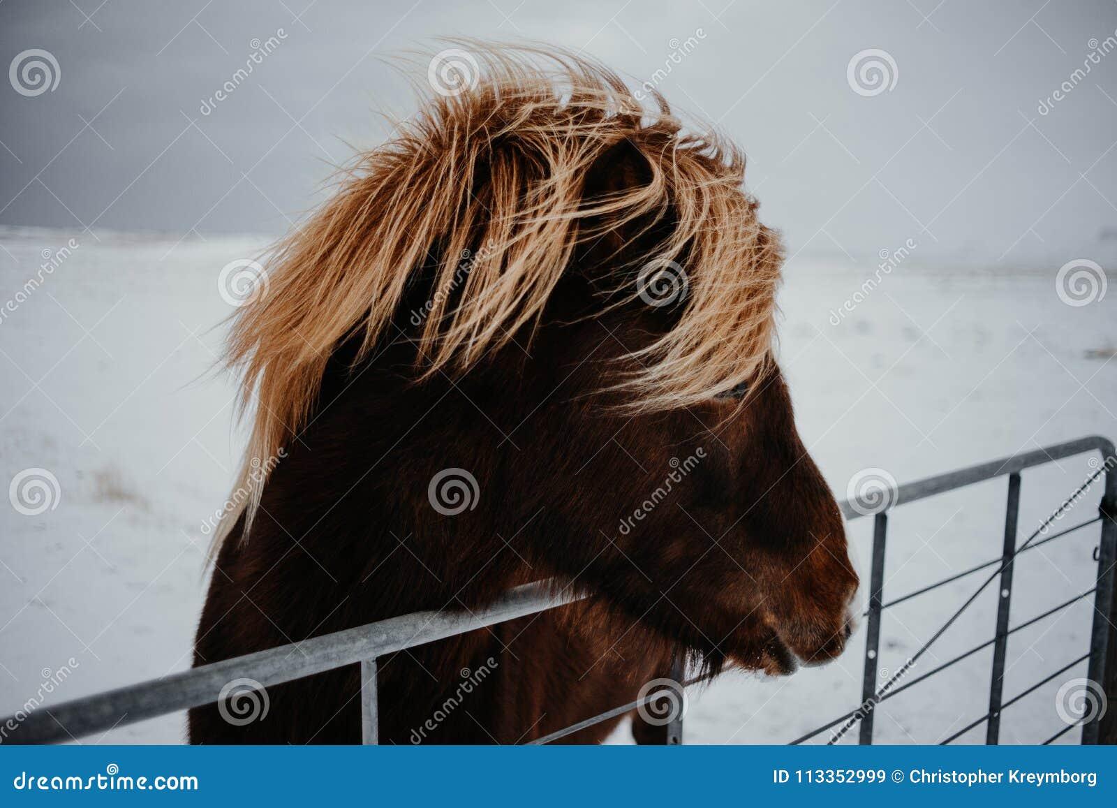 Un cheval en Islande