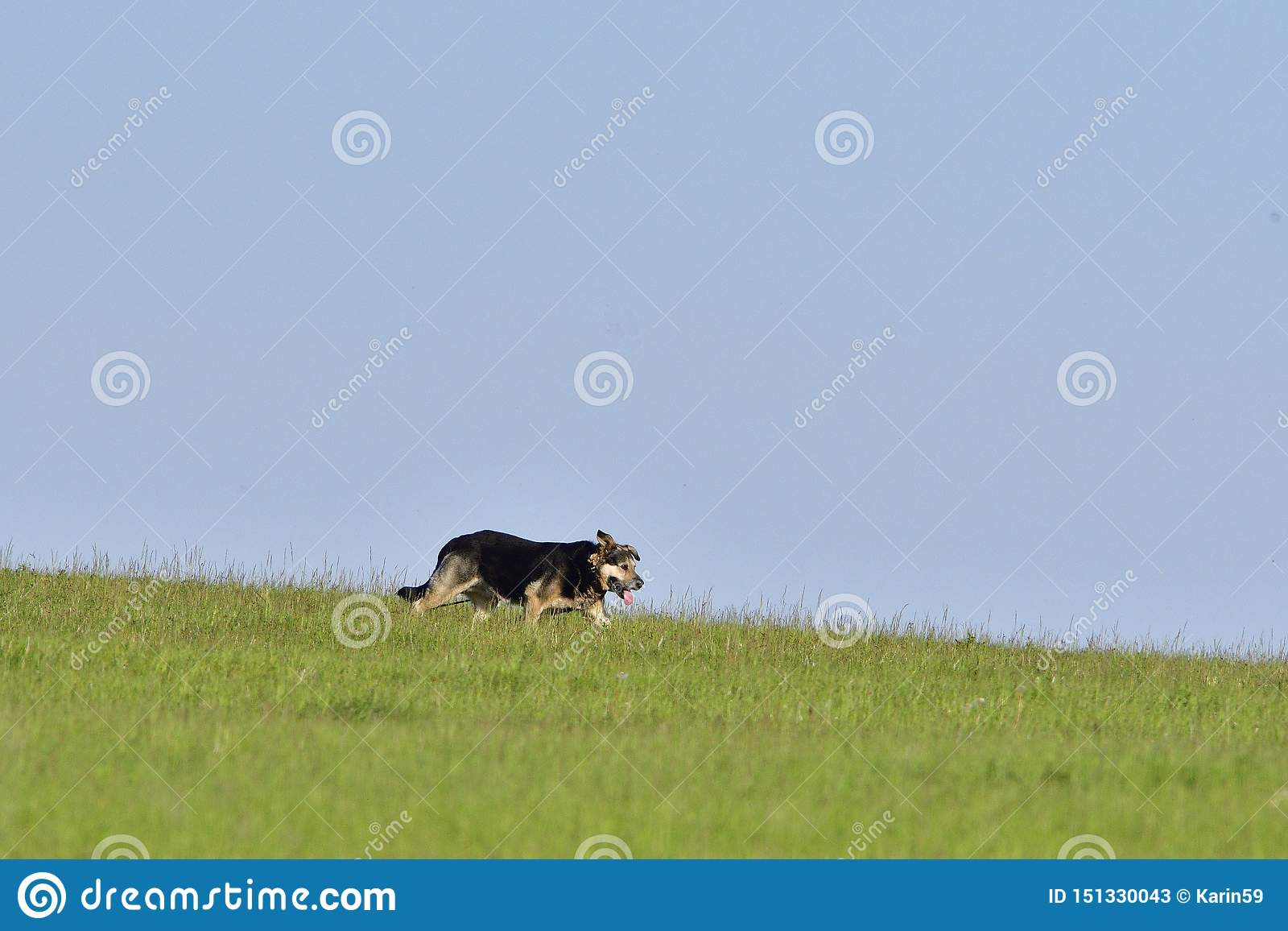 Un chien court plus d un pré
