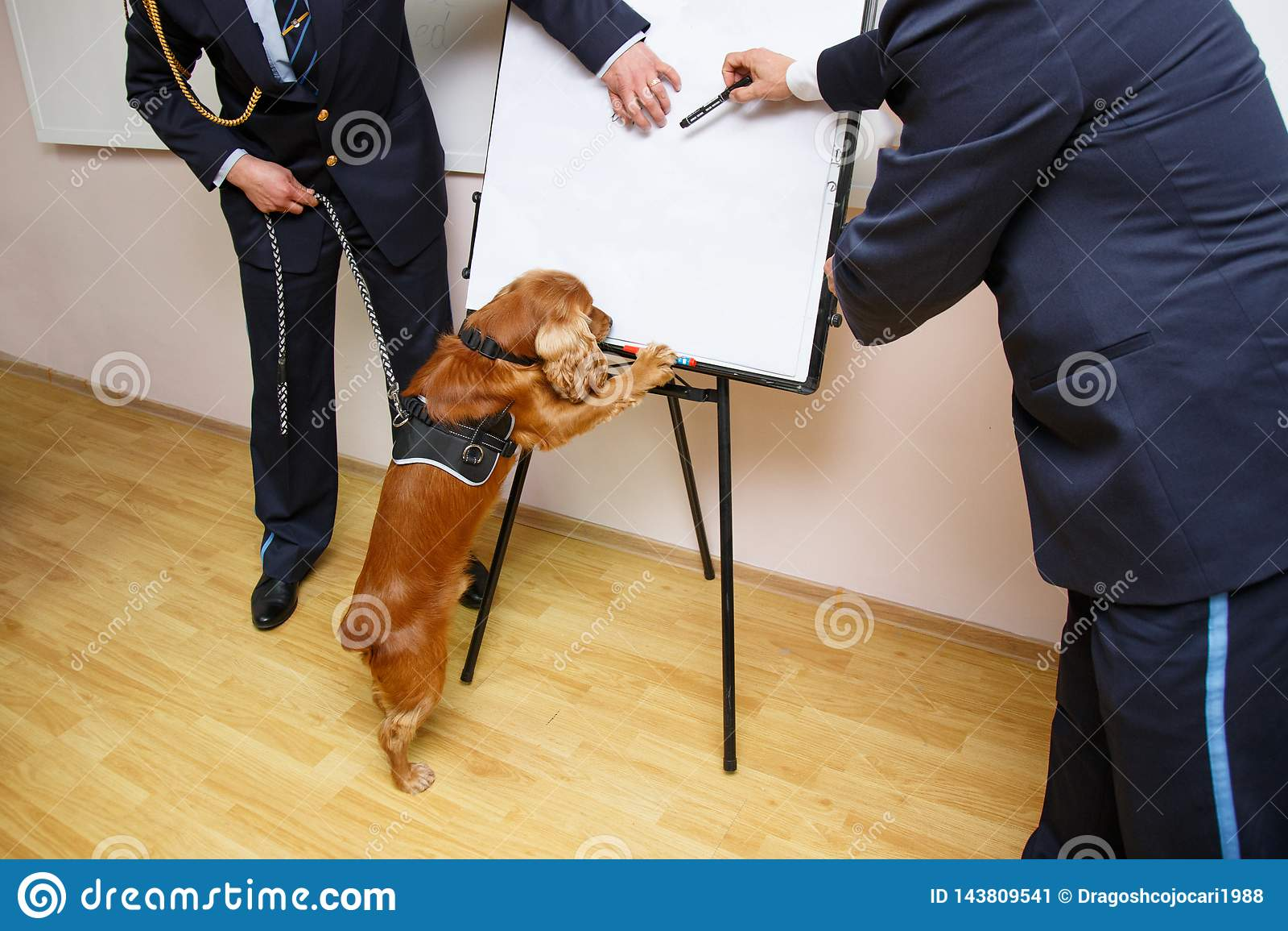 Un chien de cocker pour la détection de drogue posé dans le bureau de douane avec des pattes sur la table, près du fonctionnaire