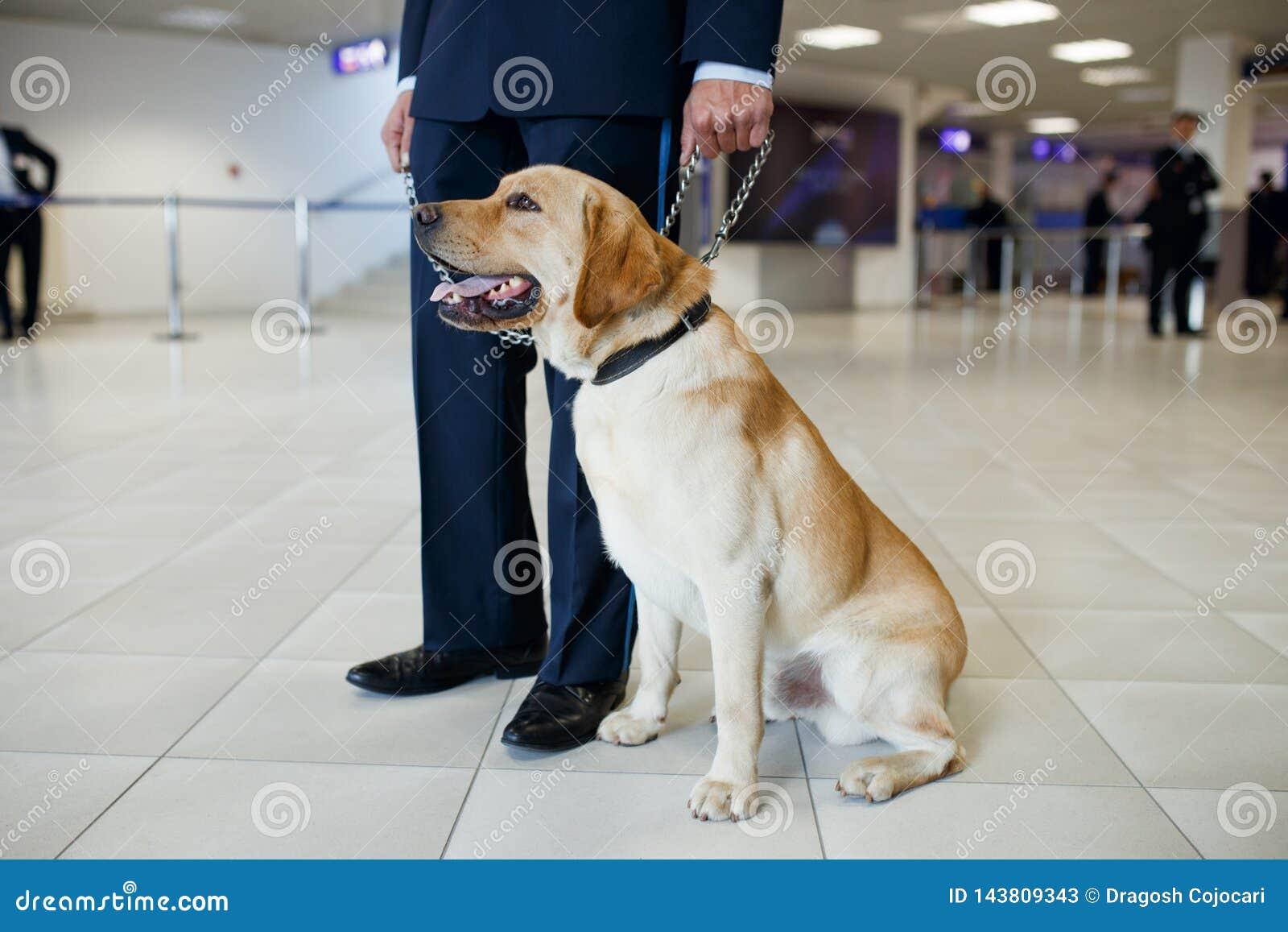 Un chien de Labrador pour d?tecter des drogues ? la position d a?roport pr?s de la douane gardent Vue horizontale