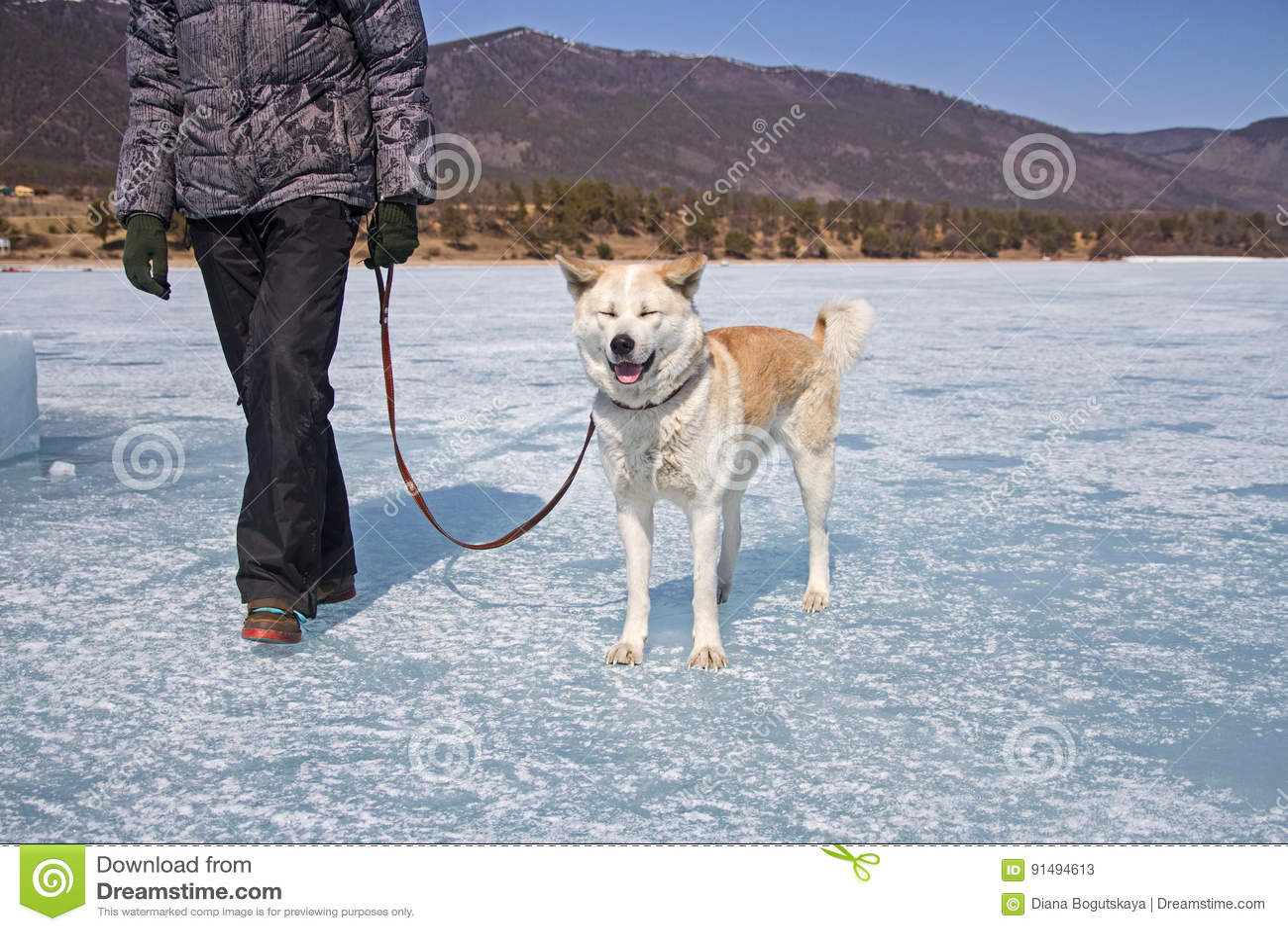 Un chien heureux d Akita Inu de Japonais avec les yeux fermés sur une laisse avec son propriétaire marche le long de la glace du