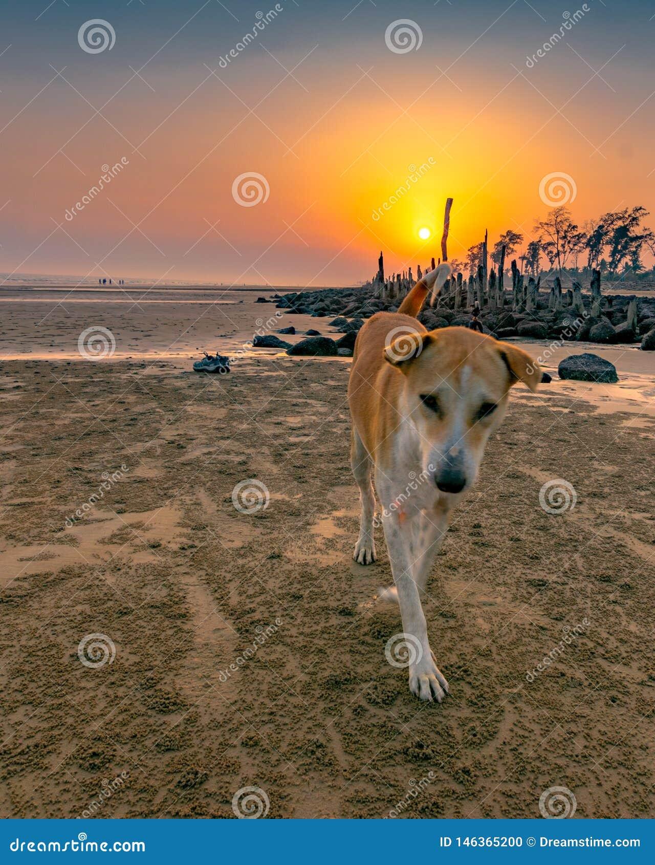 Un chien heureux marchant en plage indienne pendant le coucher du soleil coloré à l arrière-plan