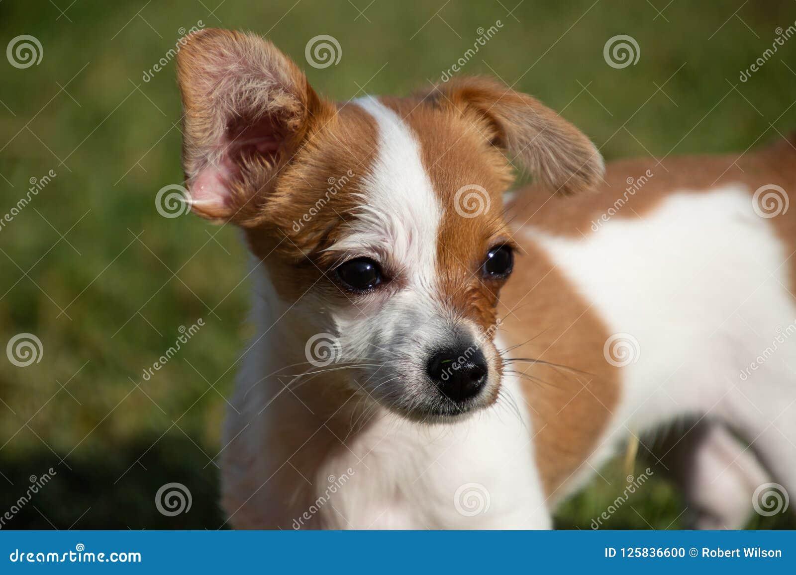 Un chien minuscule avec une oreille haute et une d oreille vers le bas