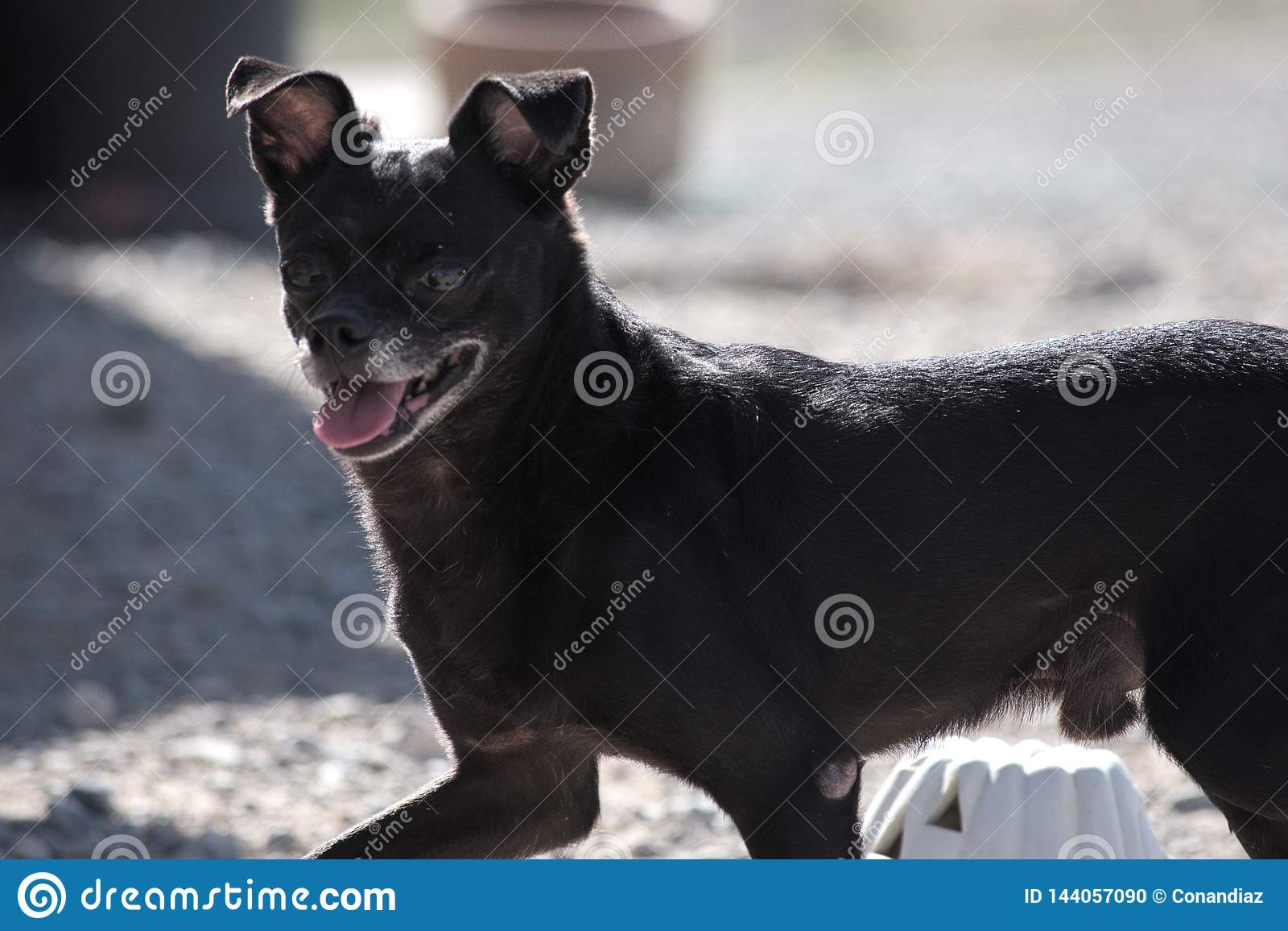Un chien noir de Jack Russell Terrier de chiwawa