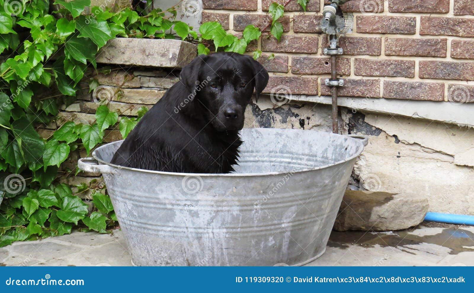 Un chien noir de Labrador se reposant dans le seau de baignoire en métal avec de la balle de tennis prête et contestant pour joue