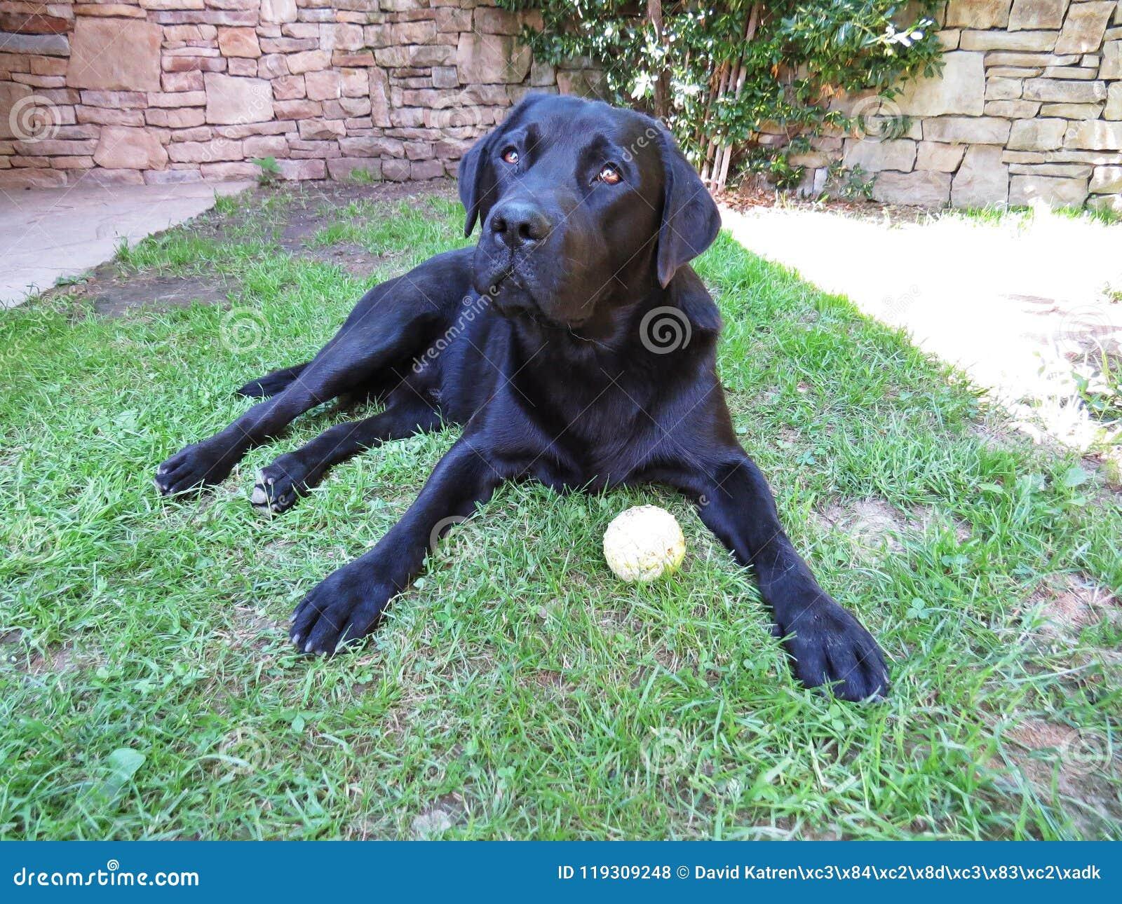 Un chien noir de Labrador se trouvant sur l herbe avec de la balle de tennis prête et contestant pour jouer