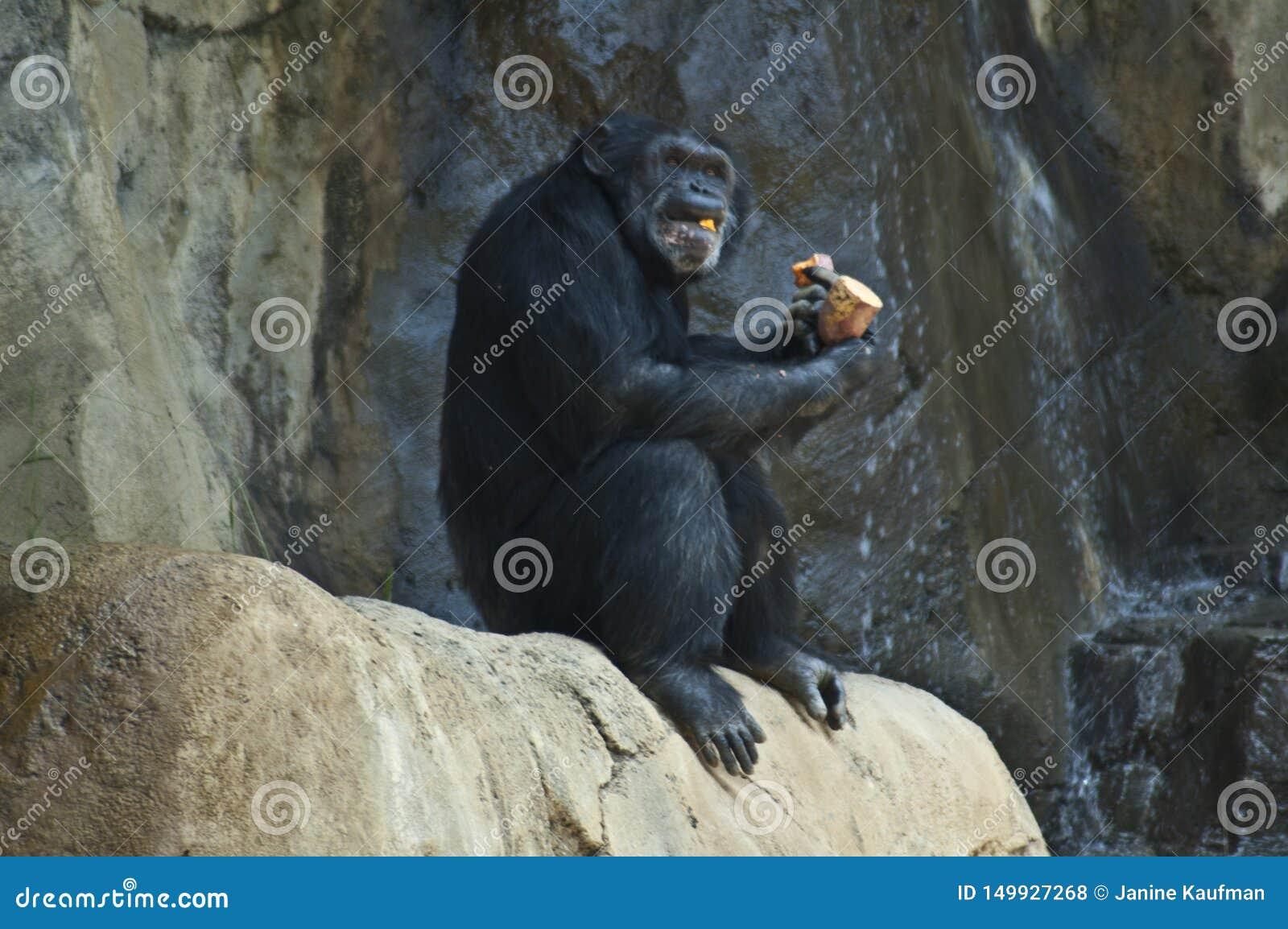 Un chimpancé de la montaña de Mahale en el parque zoológico del LA come en una roca