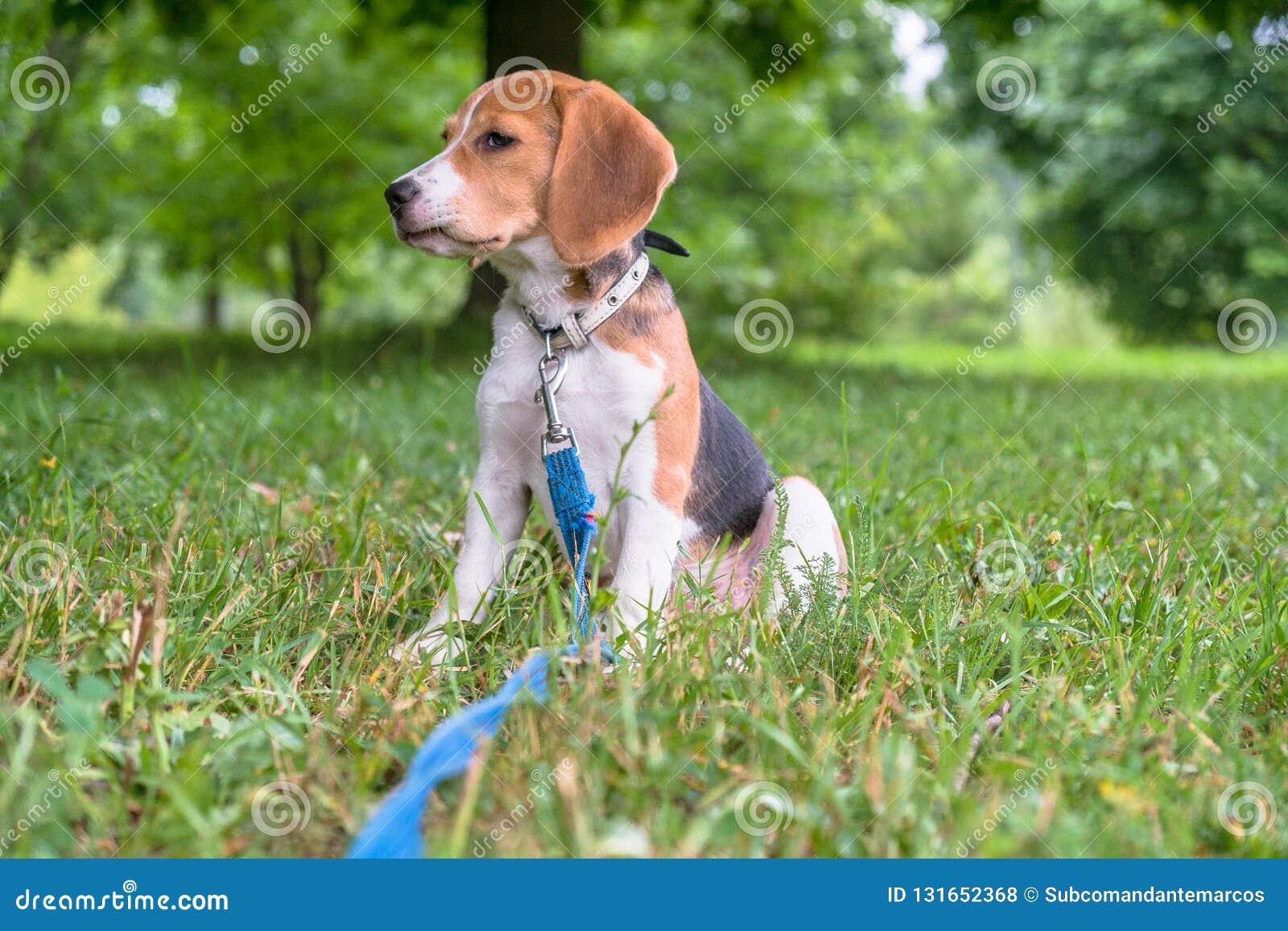 Un chiot réfléchi de briquet avec une laisse bleue sur une promenade en parc de ville Portrait d un chiot gentil