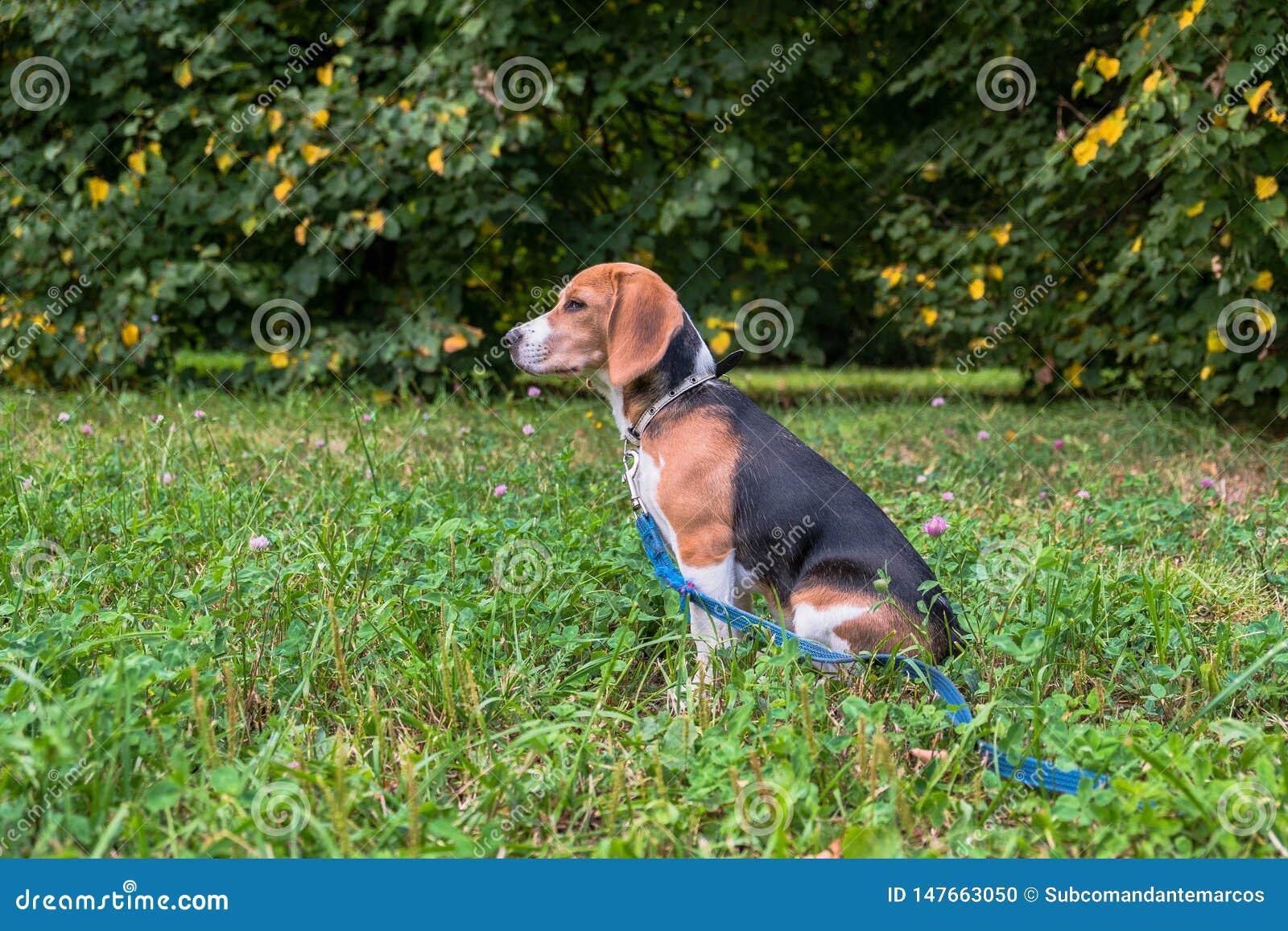 Un chiot r?fl?chi de briquet avec une laisse bleue sur une promenade en parc de ville Portrait d un chiot gentil