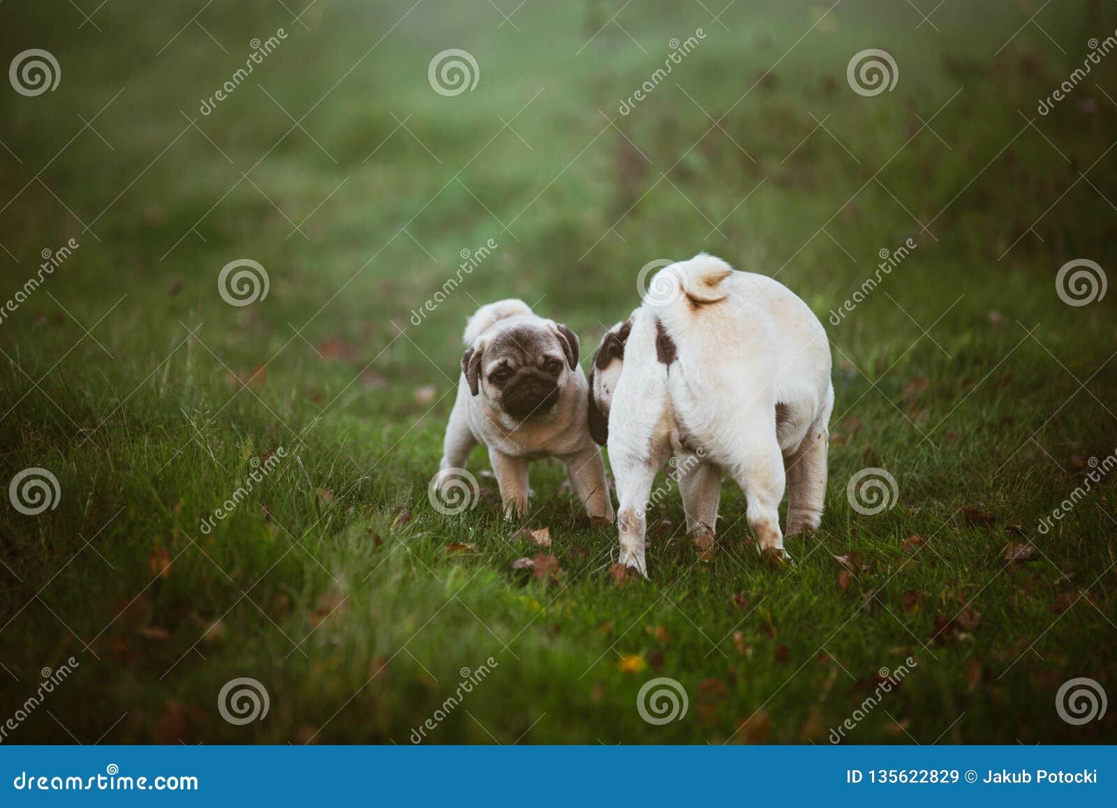 Un chiot, roquet avec un visage effrayé et sa mère qui le renifle sur une herbe foncée verte, pré, champ ou dans un jardin