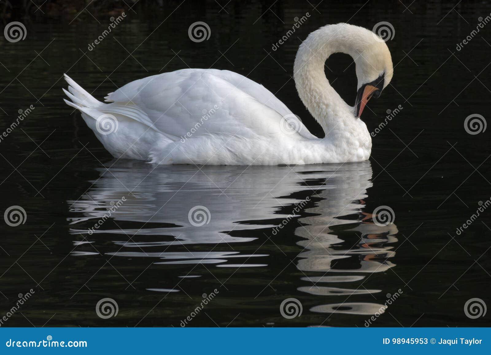 Un cisne blanco