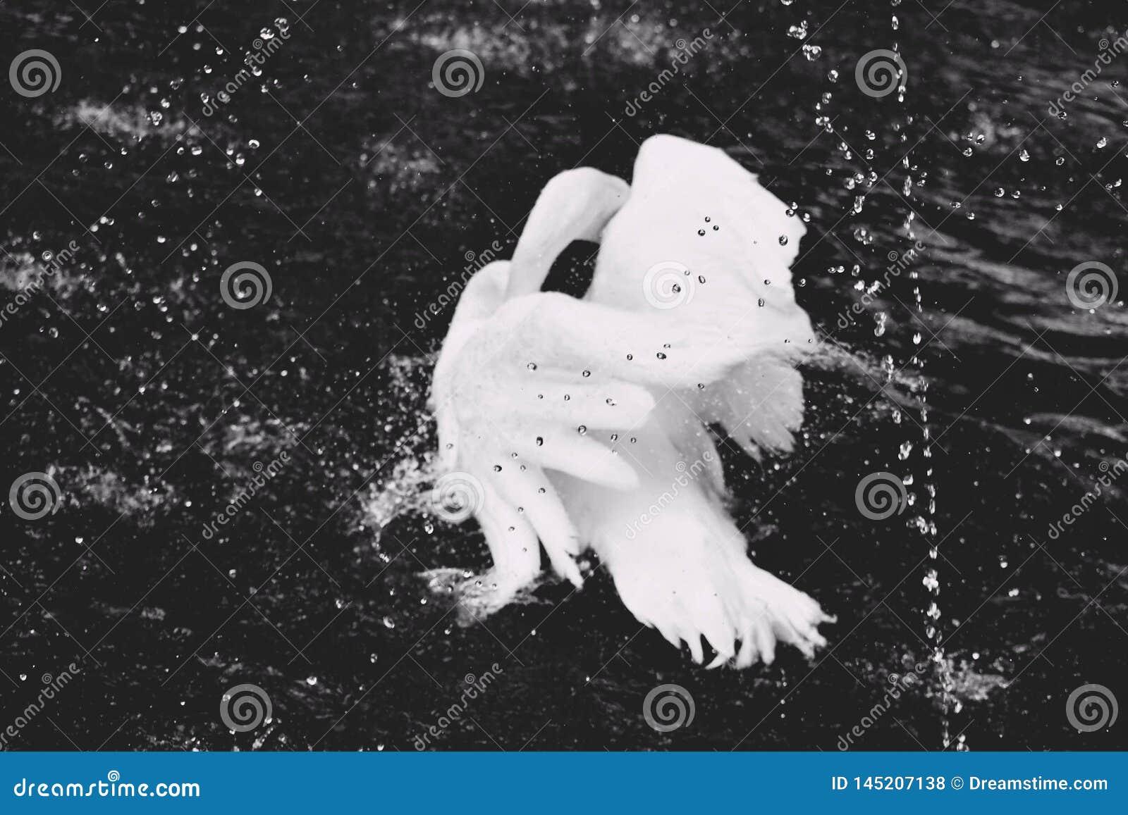 Un cisne verdaderamente hermoso en una charca