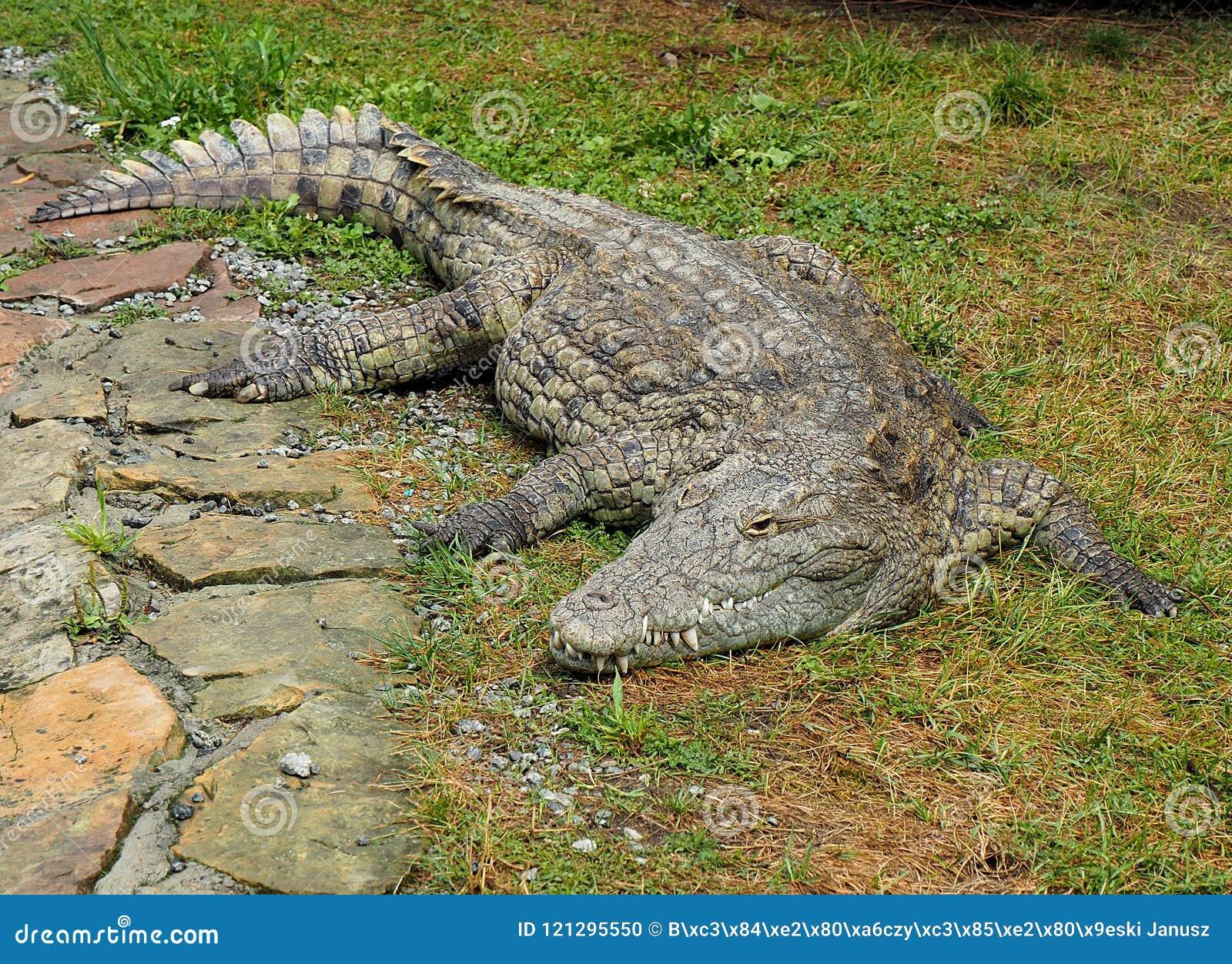 Un coccodrillo rilassato