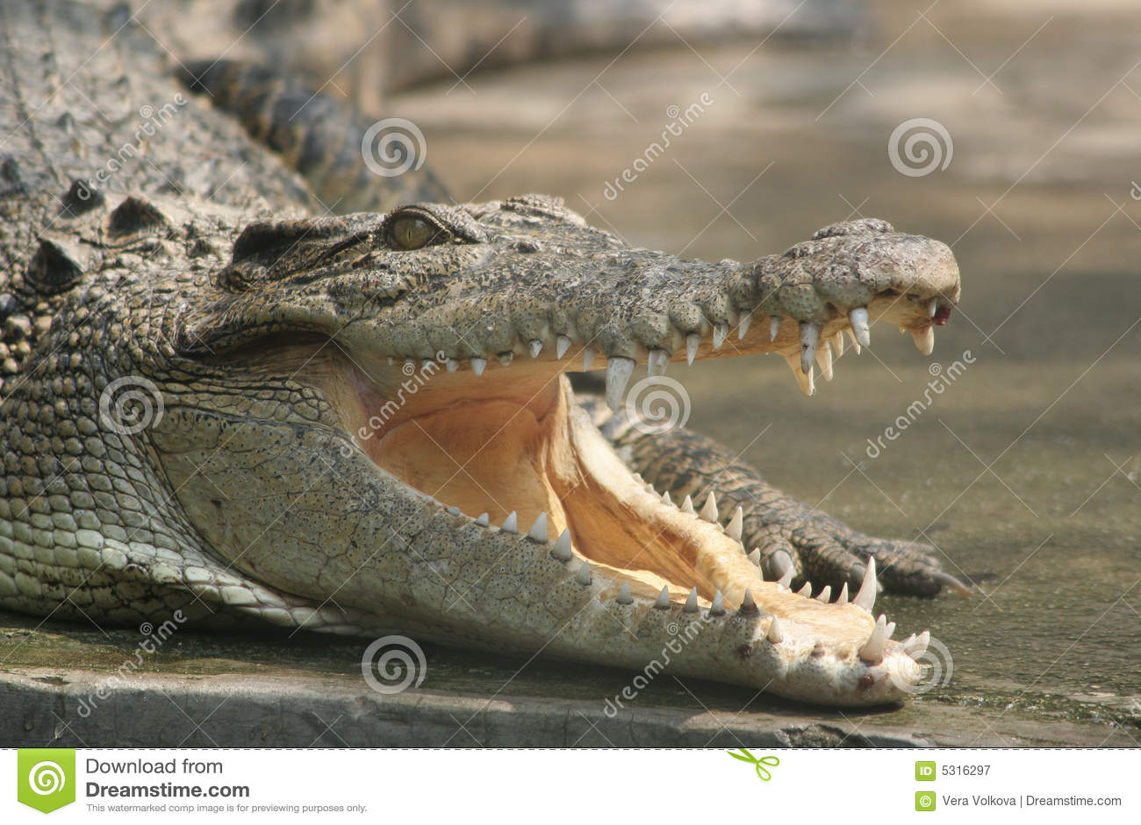 Download Un coccodrillo sorridente immagine stock. Immagine di bocca - 5316297