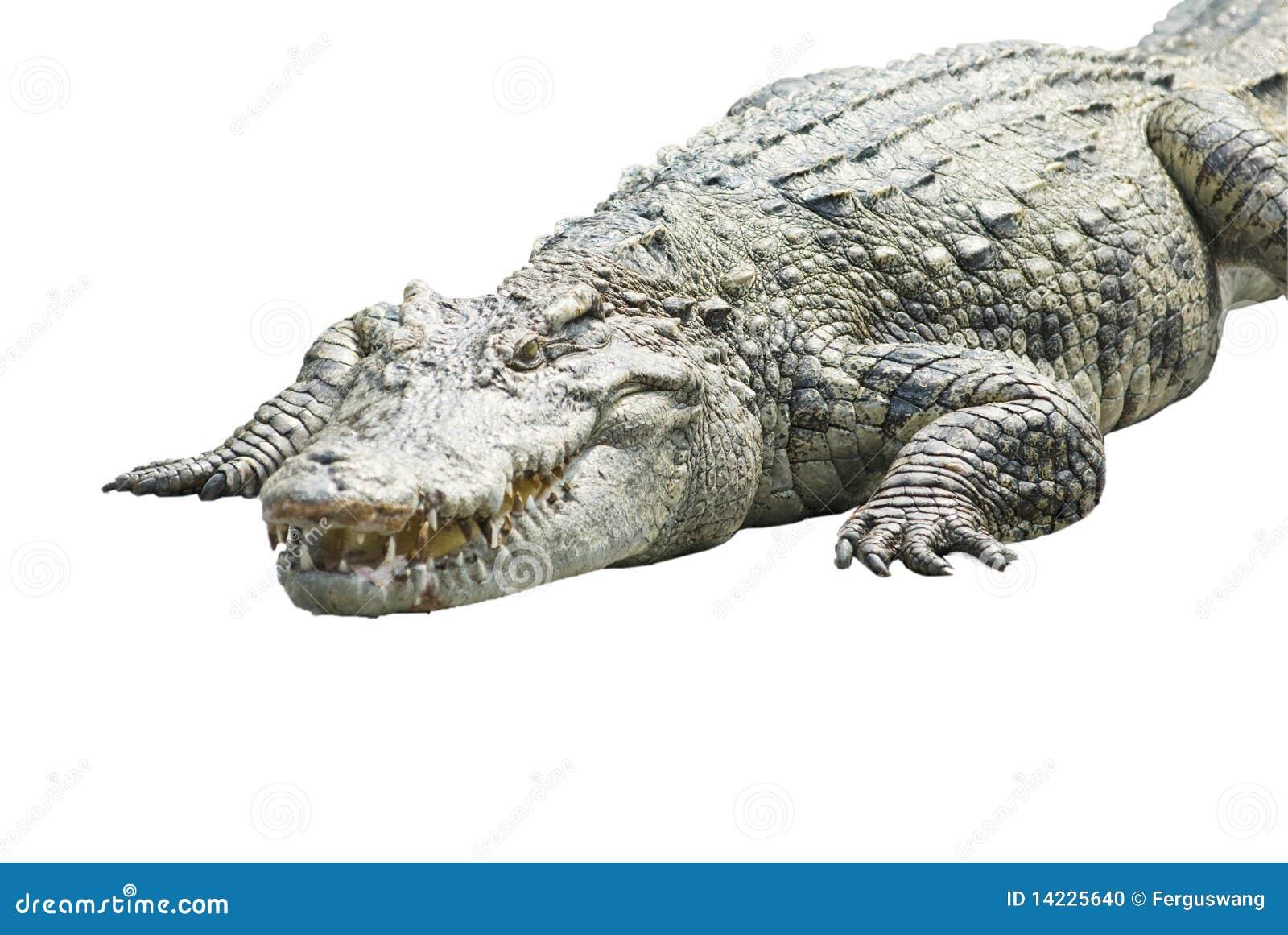 Un cocodrilo en blanco