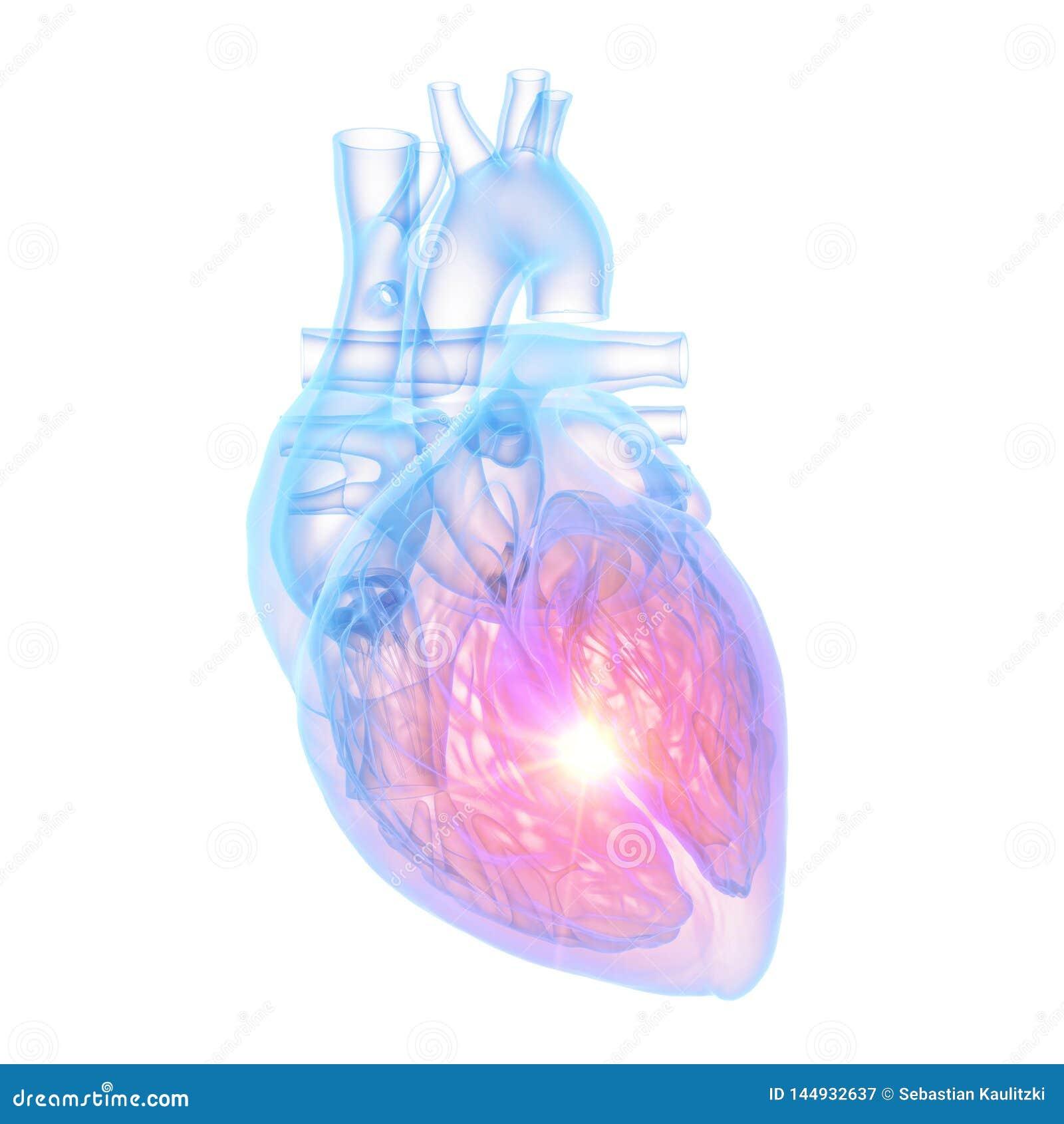 Un coeur humain