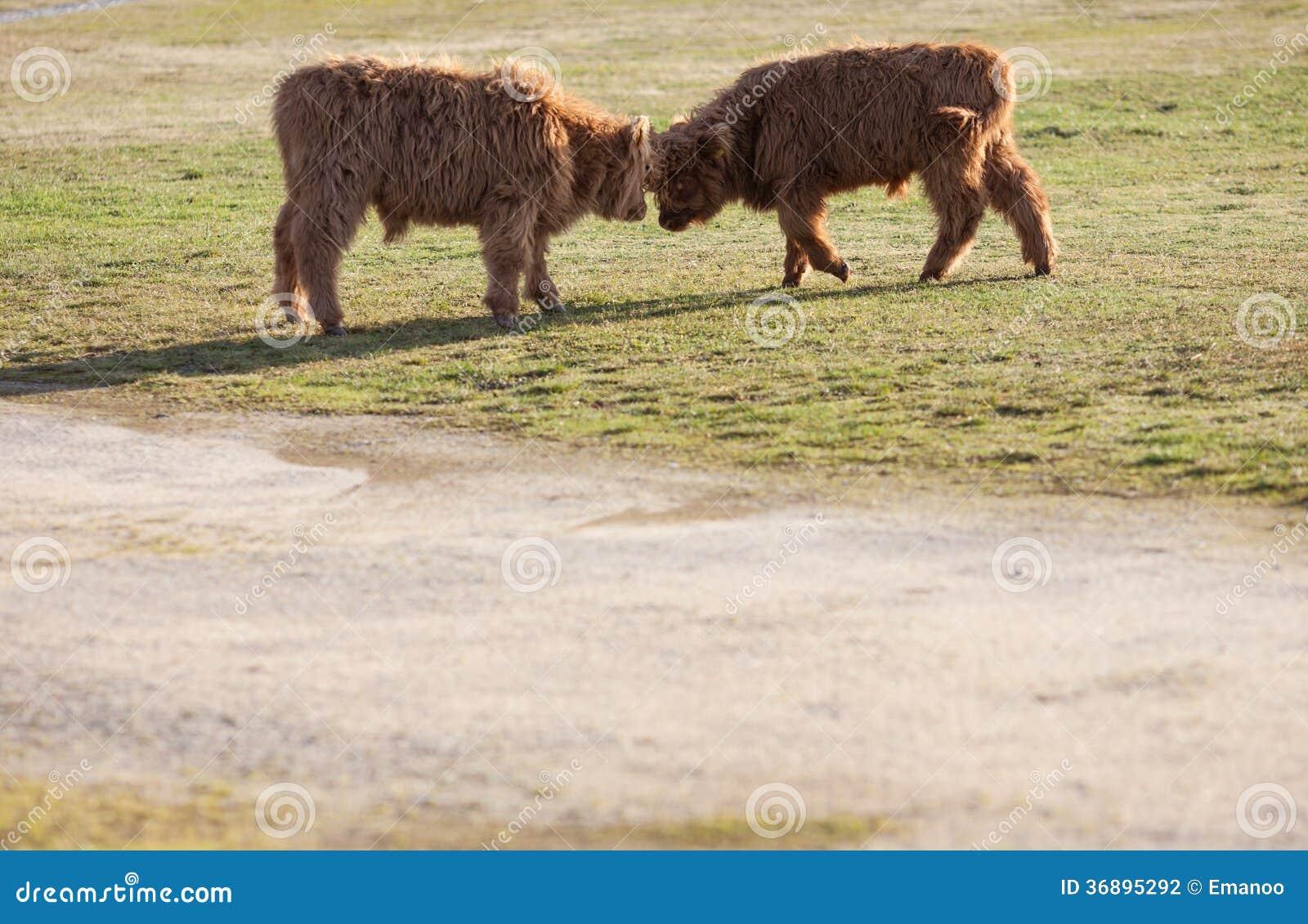 Download Un Combattimento Di Due Vitelli Fotografia Stock - Immagine di farmland, erba: 36895292