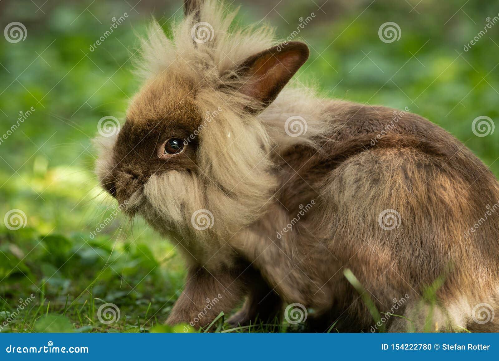 Un conejo enano lindo marrón que descansa en la hierba