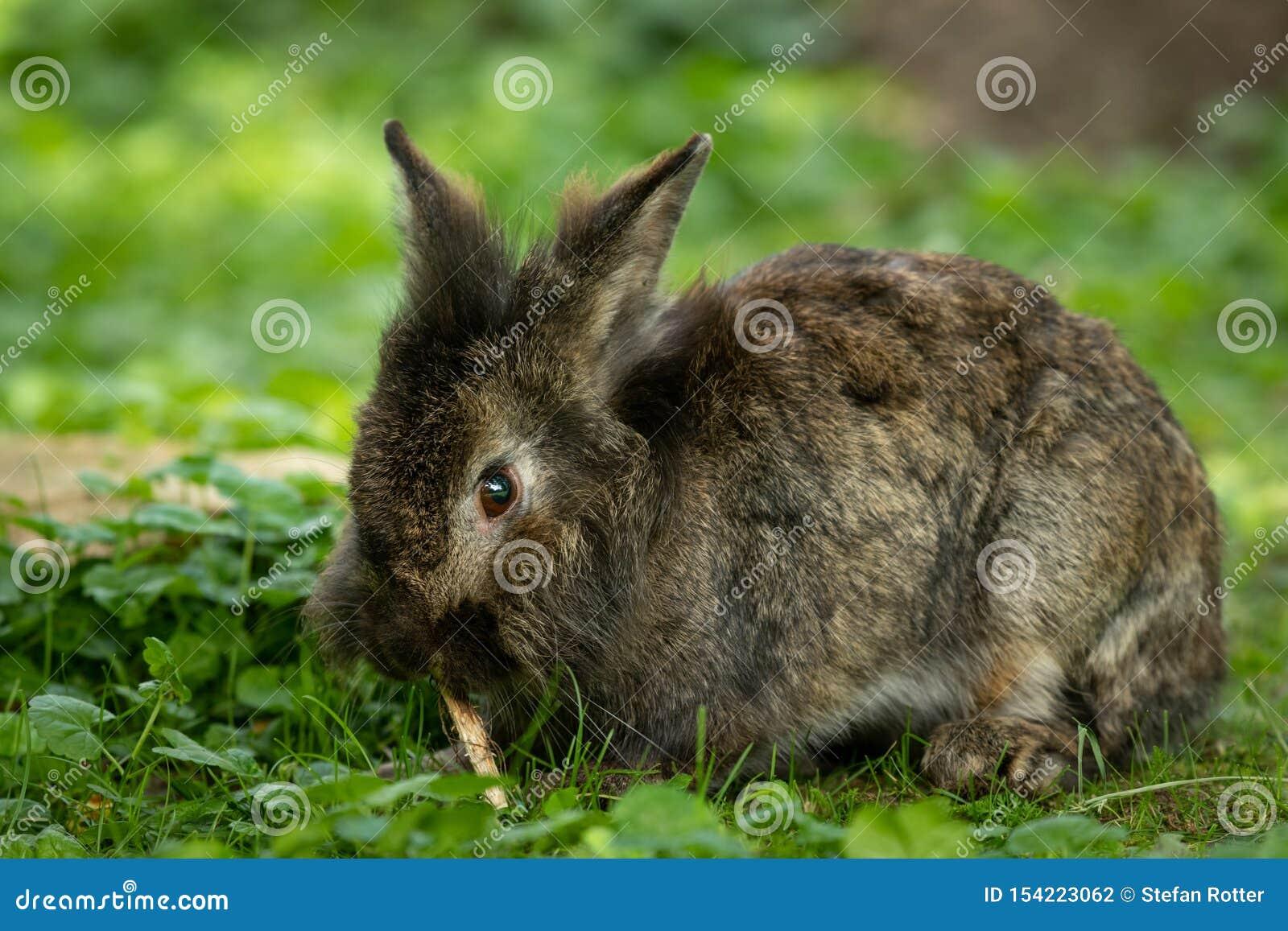 Un conejo enano lindo marrón que mordisca en una pequeña ramita