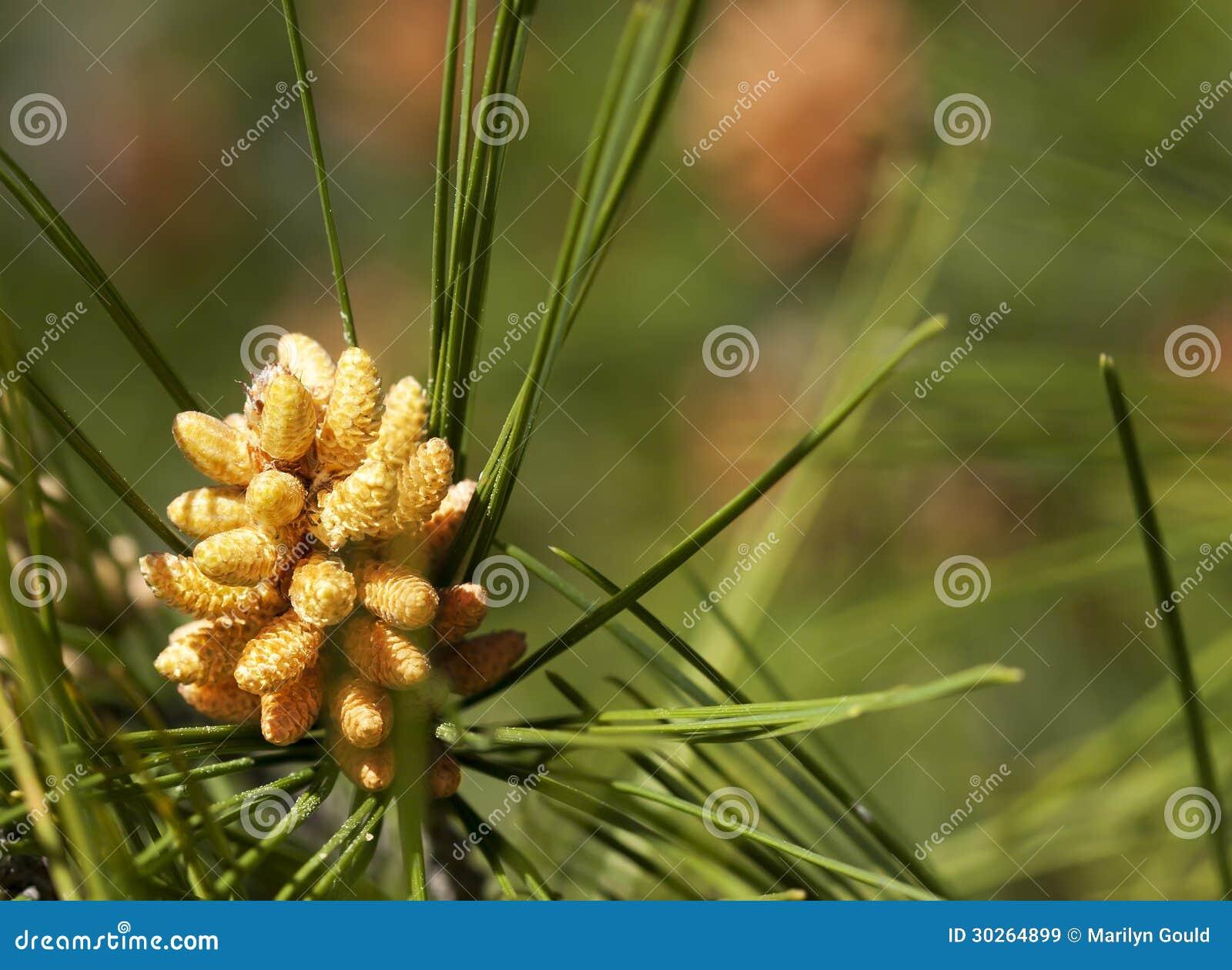 Cono del polline del pino