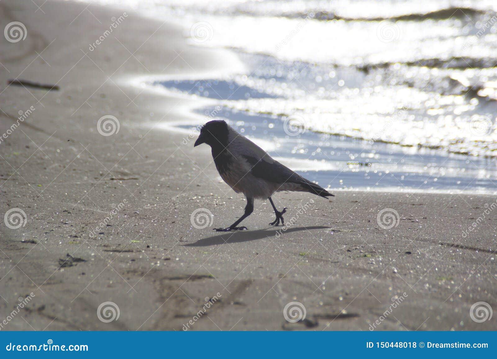 Un corax común del Corvus del cuervo
