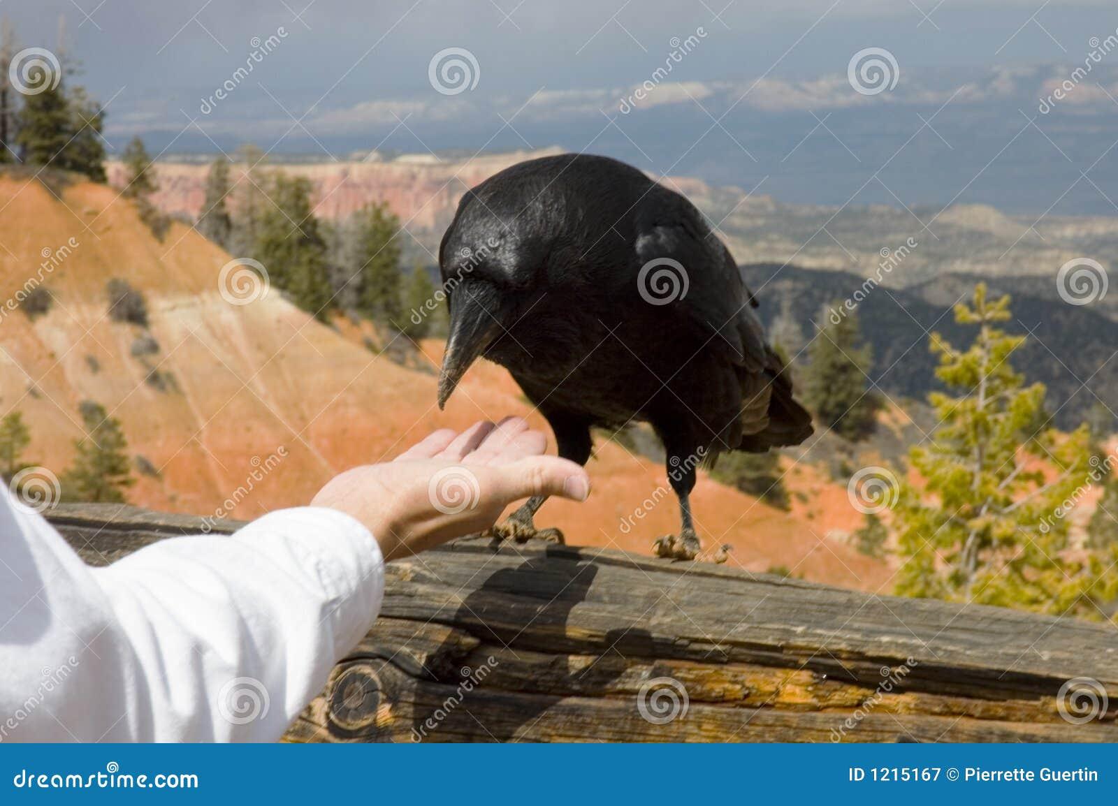 Un corbeau soupçonneux