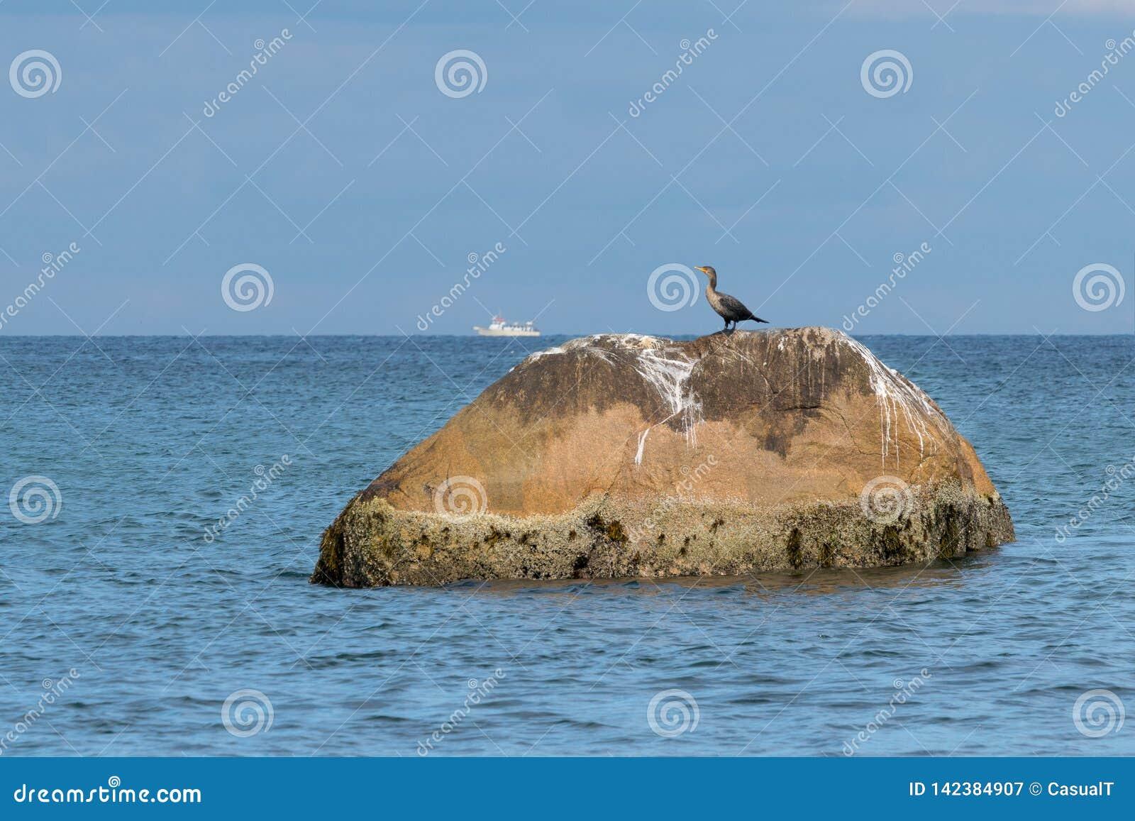 Un cormorán doble-con cresta juvenil que se encarama en una roca grande mientras que pasos blancos pequeños de un barco a lo larg