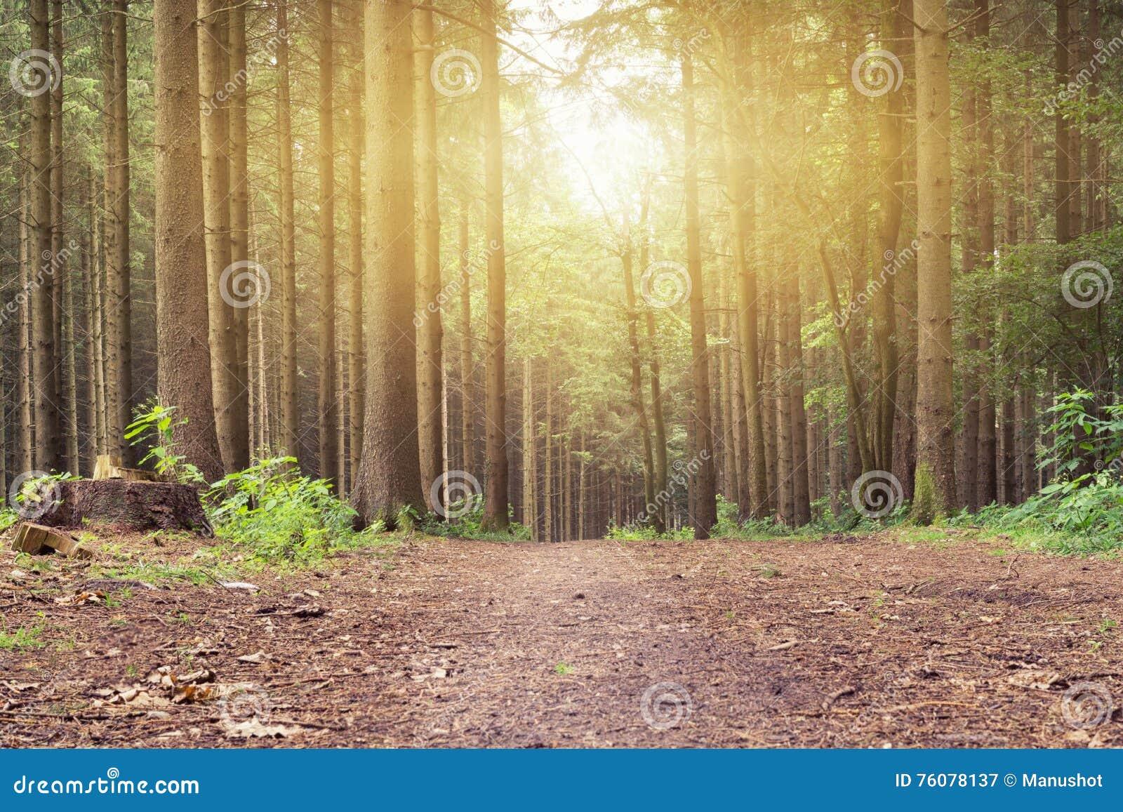 Un coucher du soleil dans la forêt paisible sur un chemin