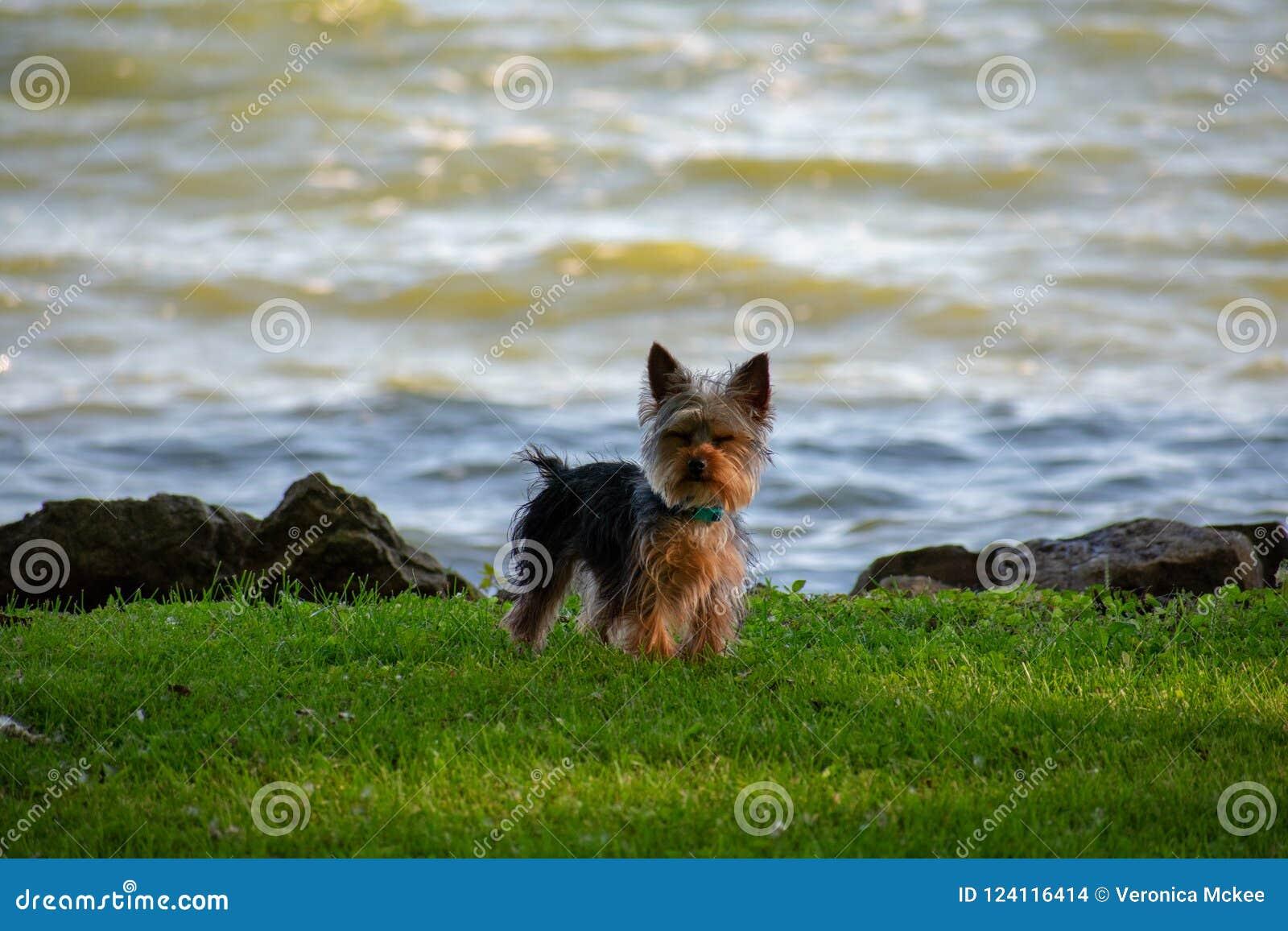 Un cucciolo di Yorkie al bordo delle acque