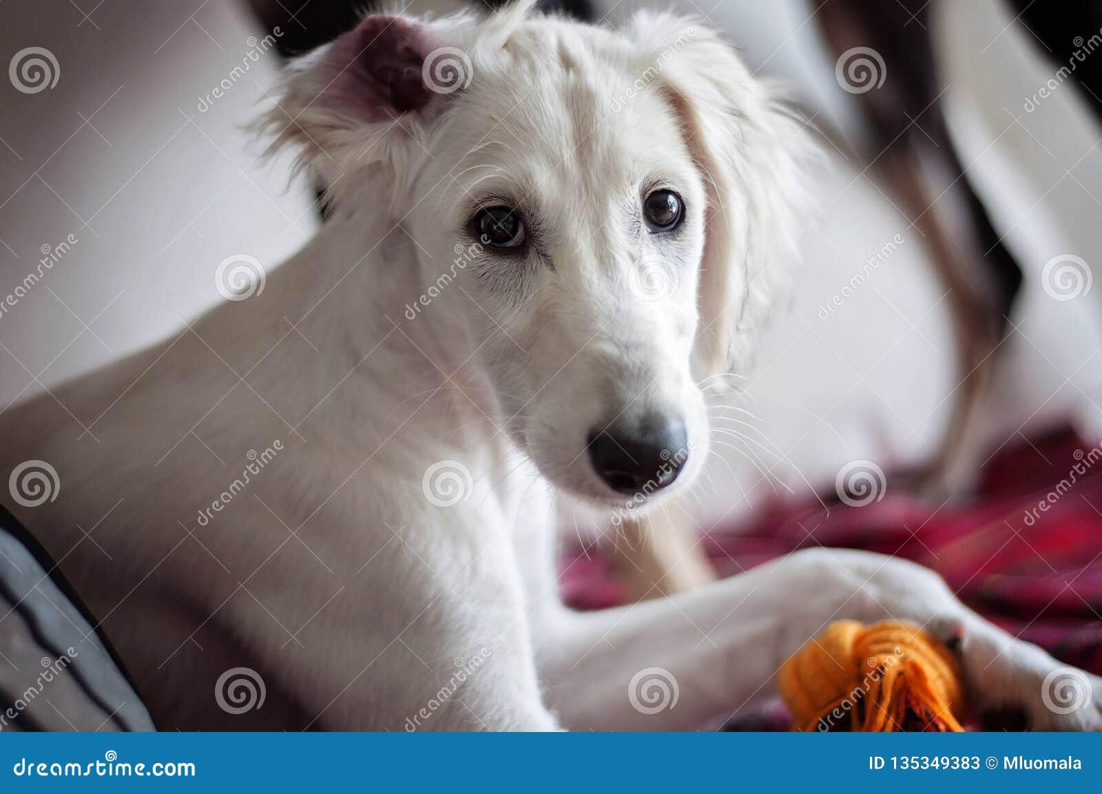 Un cucciolo eared floscio bianco di saluki di allarme si è rilassato su un sofà, un orecchio su un modo sbagliato intorno