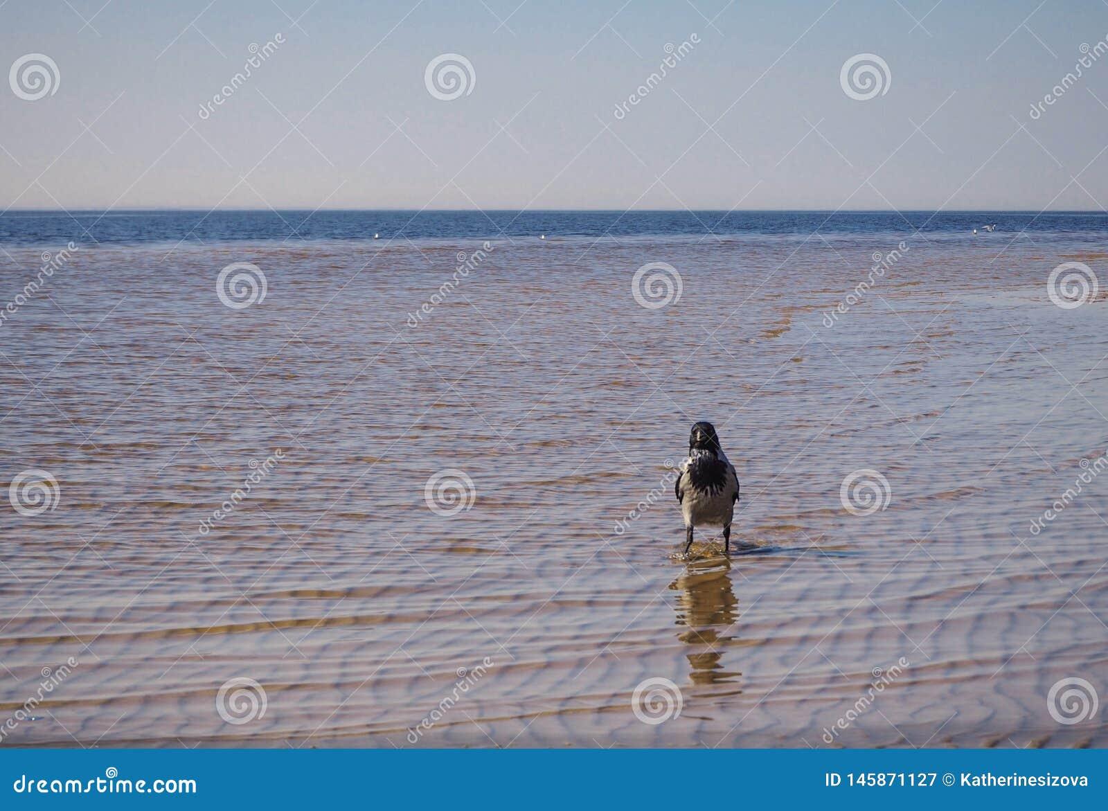 Un cuervo est? caminando en el mar