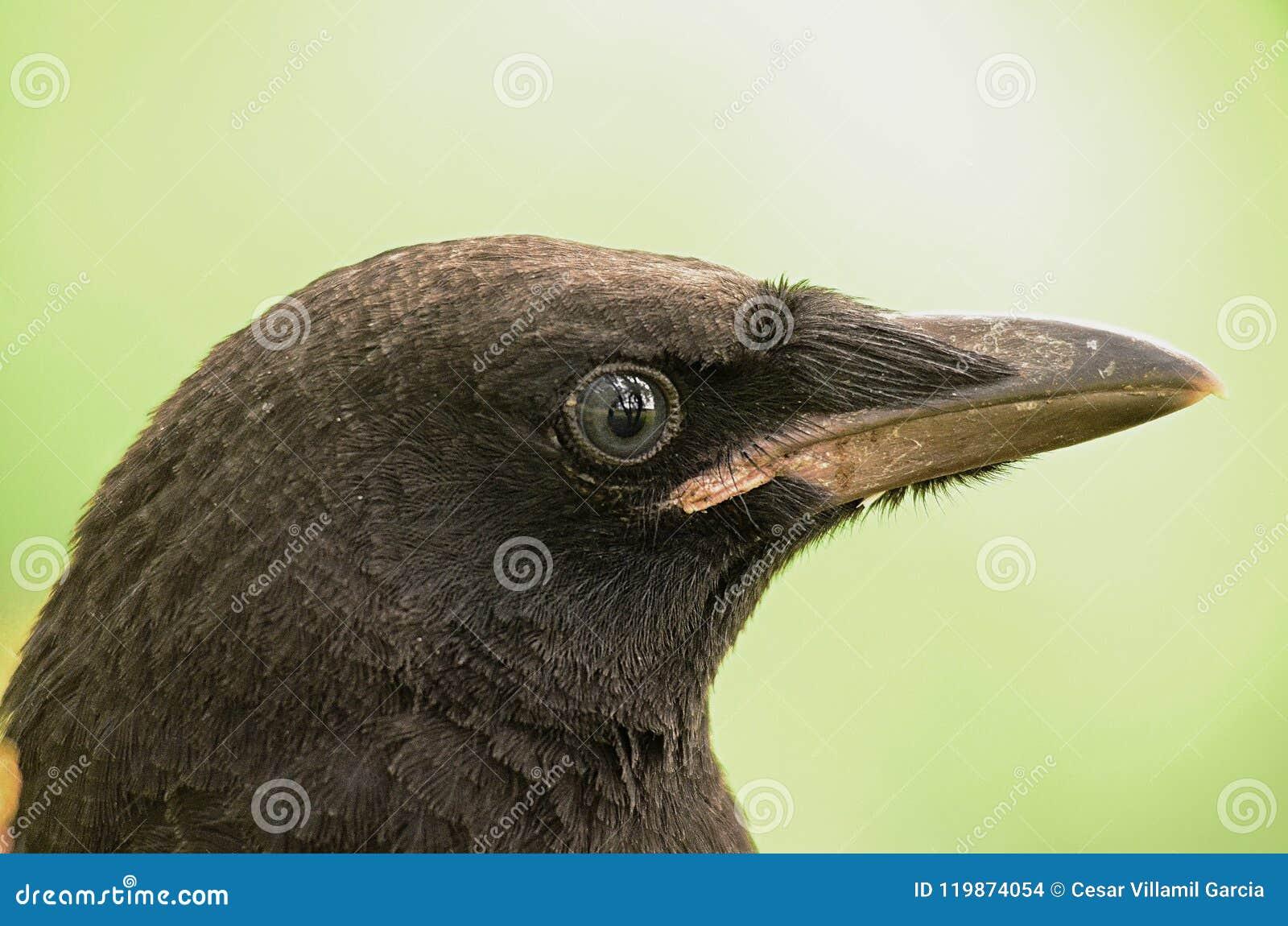 Un cuervo negro joven