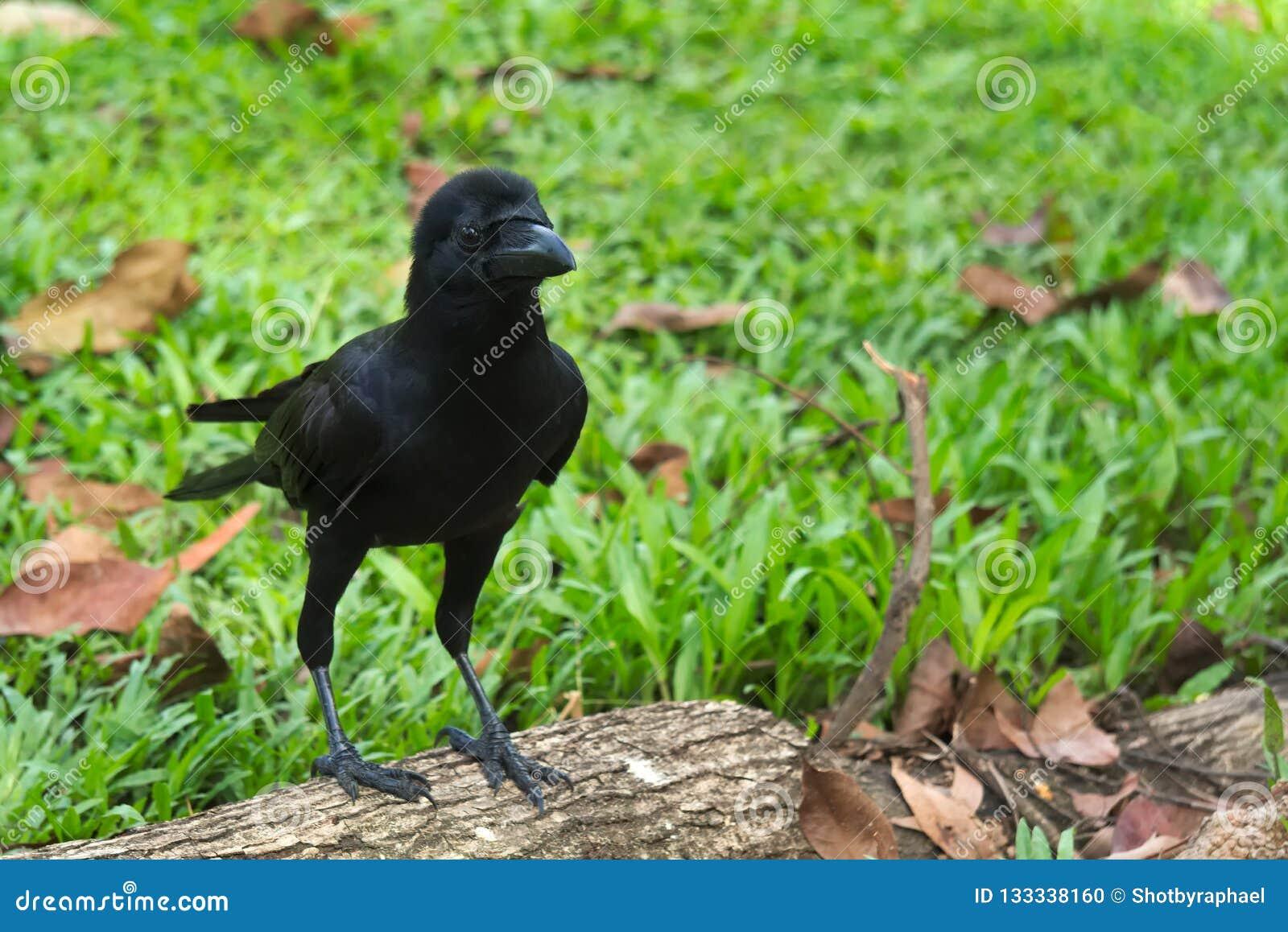 Un cuervo negro joven, gallardo, despide sobre un pequeño registro, en un parque verde precioso