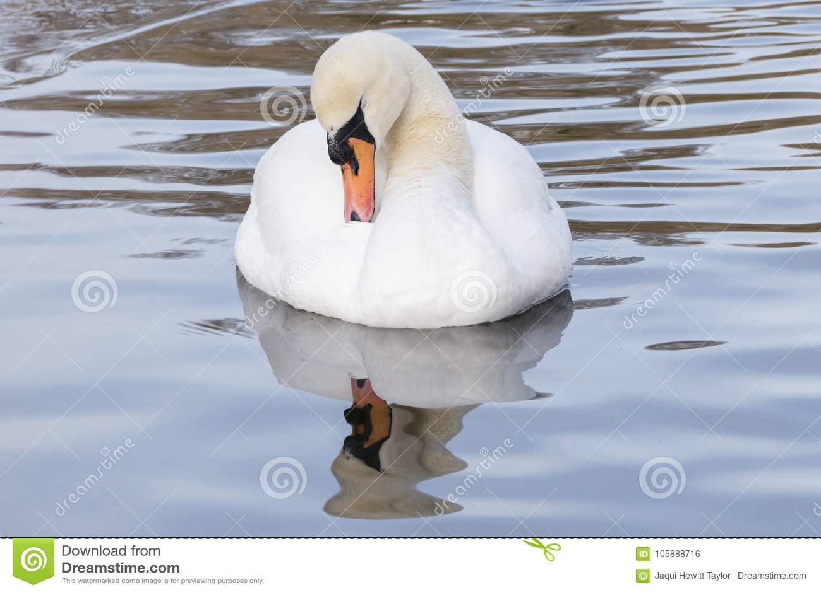 Un cygne blanc dans un étang glacial