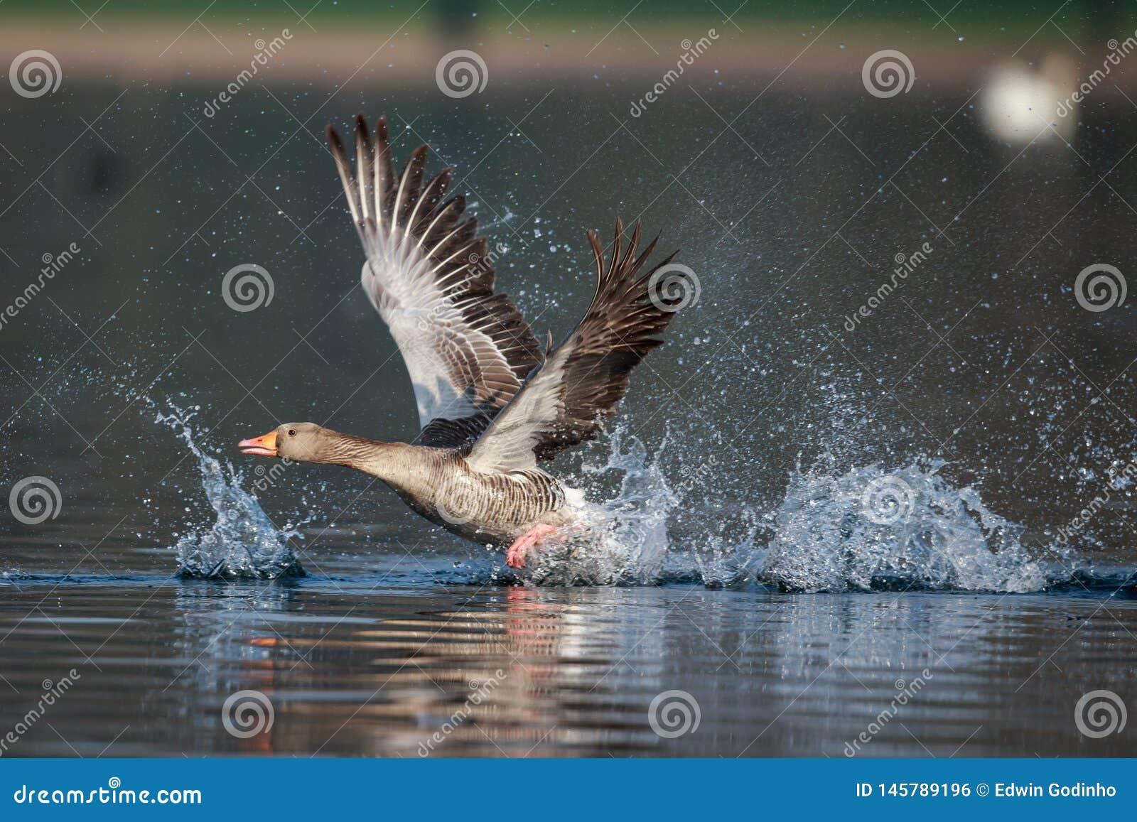 Un decollo dell oca selvatica