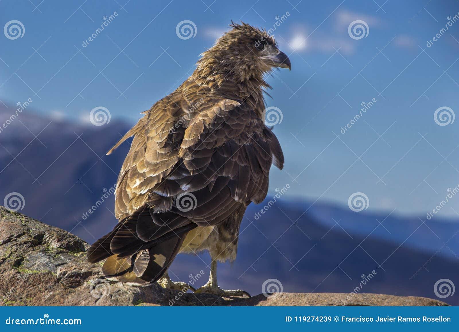Un depredador oportunistic del Caracara que busca la comida dentro de las montañas de la Patagonia, la Argentina