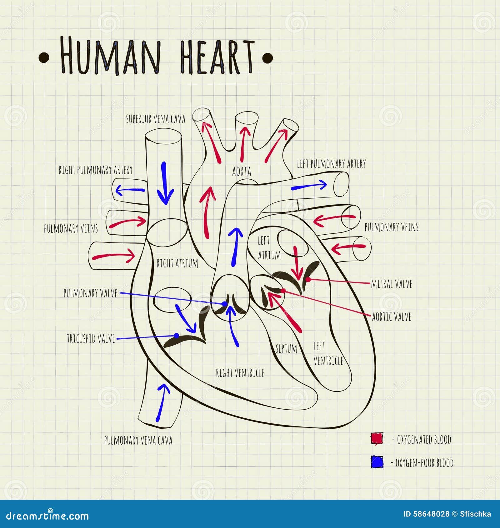 Fantástico Corazón Humano En Diagrama De Cuerpo Fotos - Anatomía de ...