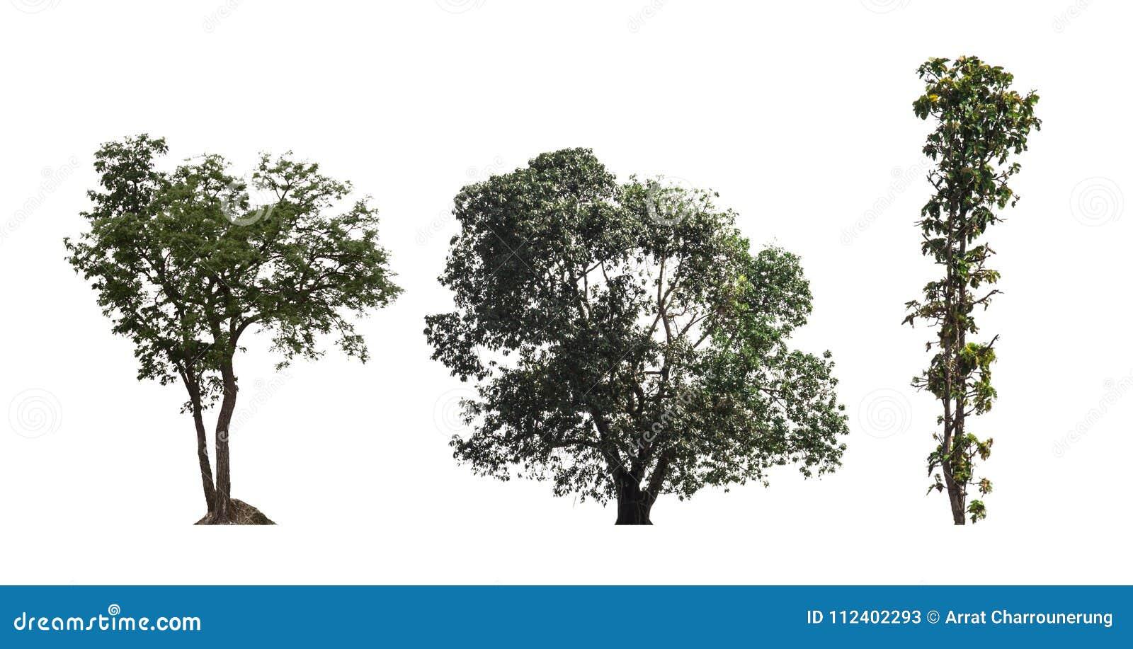 Un dicut di tre alberi sui risparmi bianchi del fondo nell archivio di jpg che taglia p