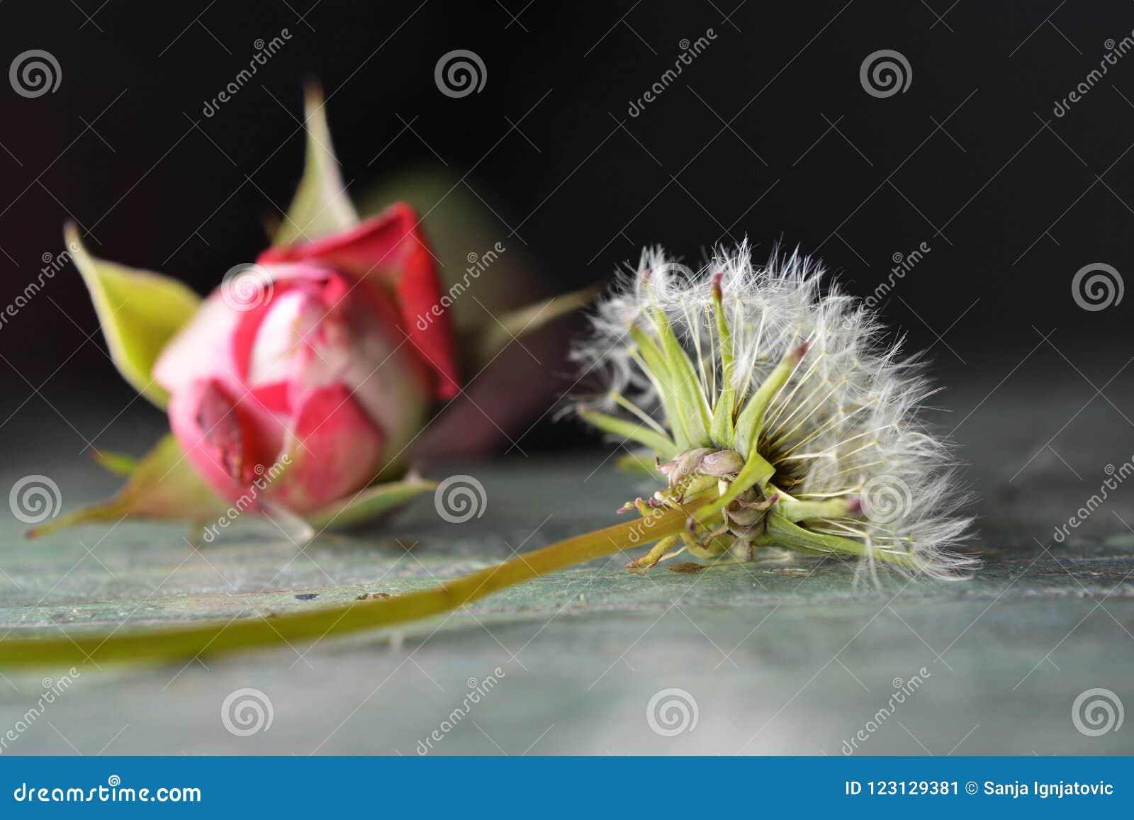 Un diente de león y una rosa